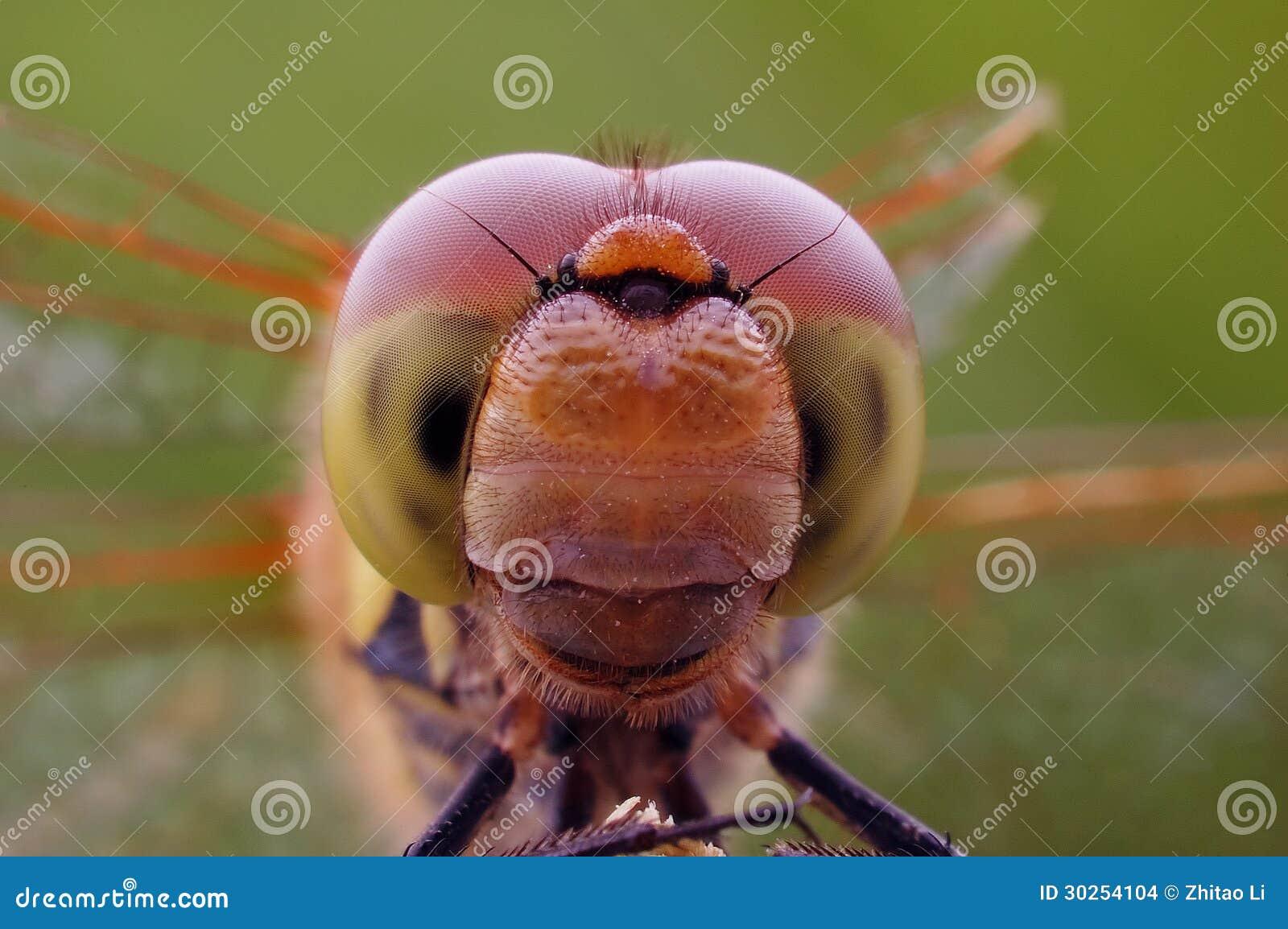 Fim-acima dos olhos compostos da libélula