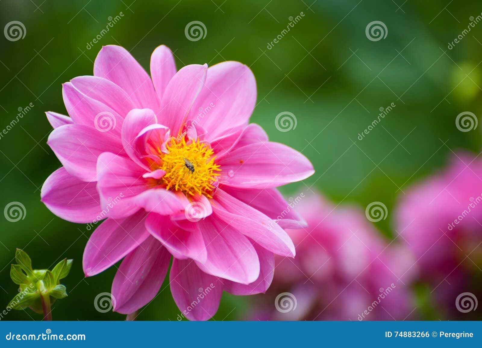 Um fim cor-de-rosa brilhante da dália da flor acima
