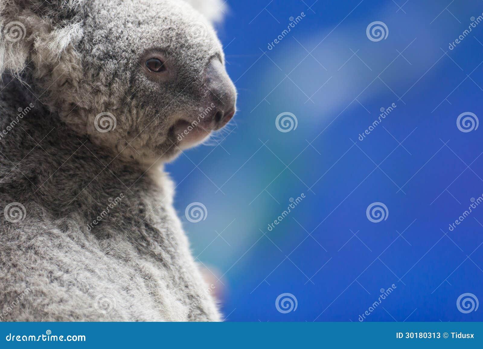 Modelo do Koala