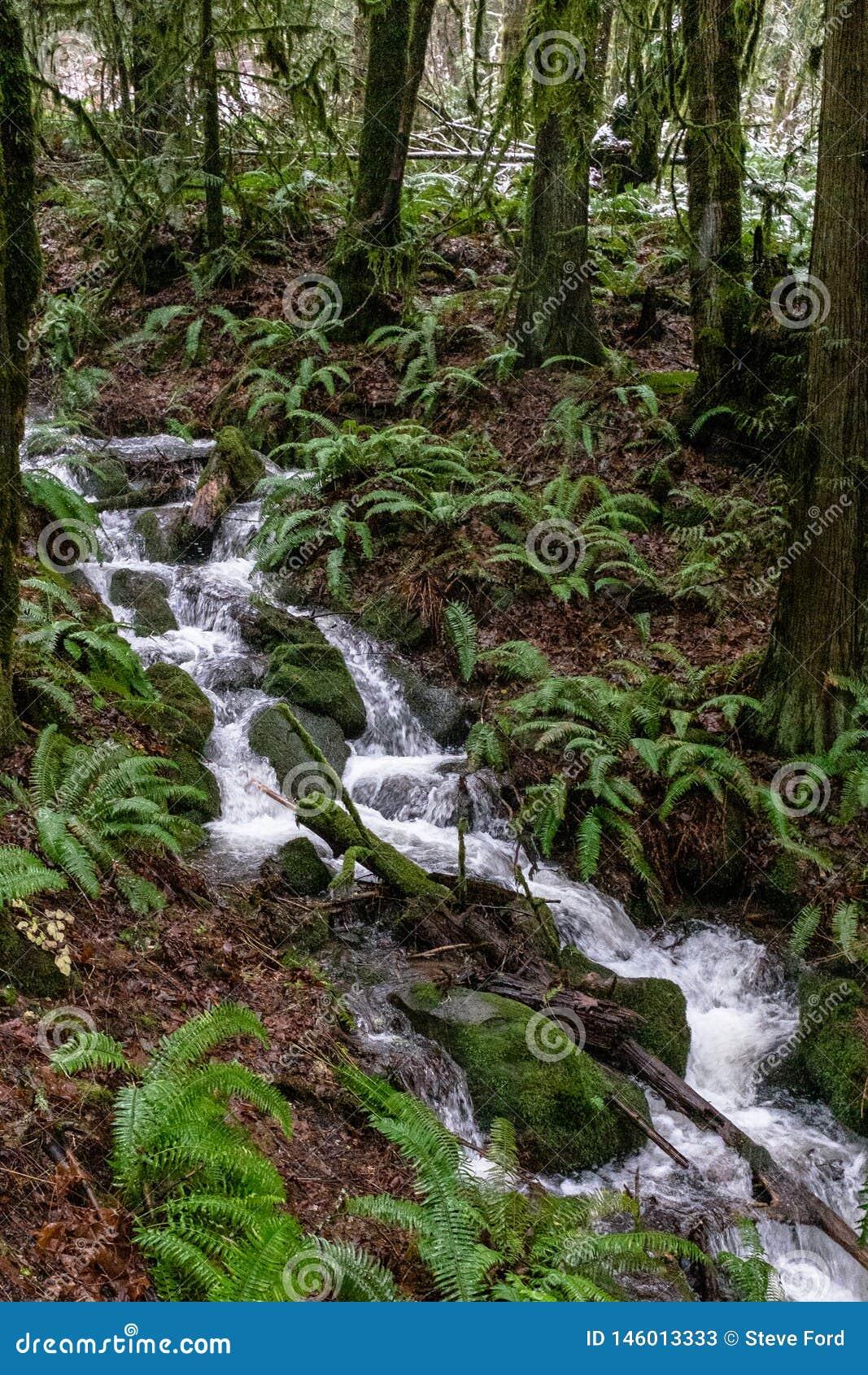 Um fluxo rápido inundado do córrego sobre rochas e árvores em uma experimentação nas madeiras apenas fora de Portland, Oregon, EU