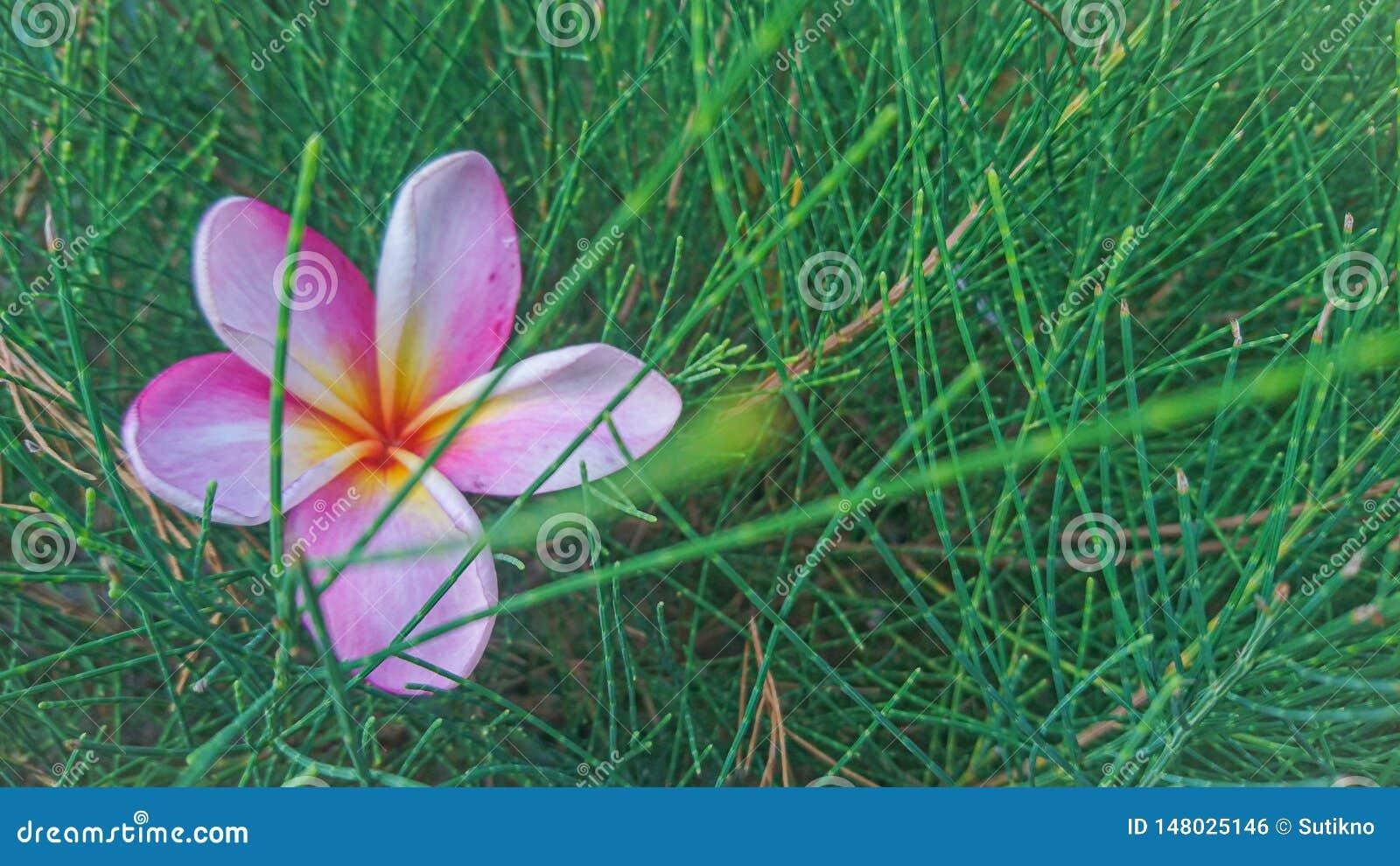 Um frangipani bonito quando nascer do sol