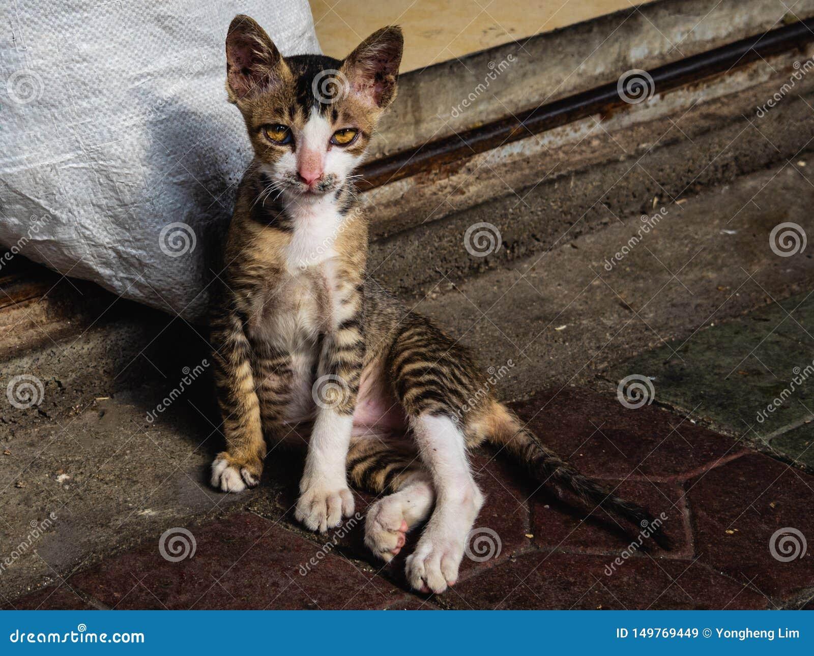 Um gato disperso nas ruas olha em linha reta na câmera