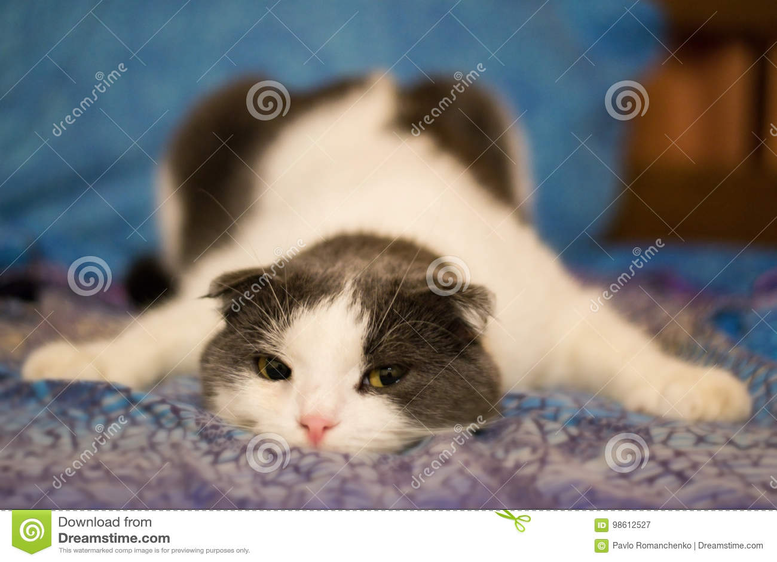 Um gato engraçado cansado encontra-se na barriga na cama