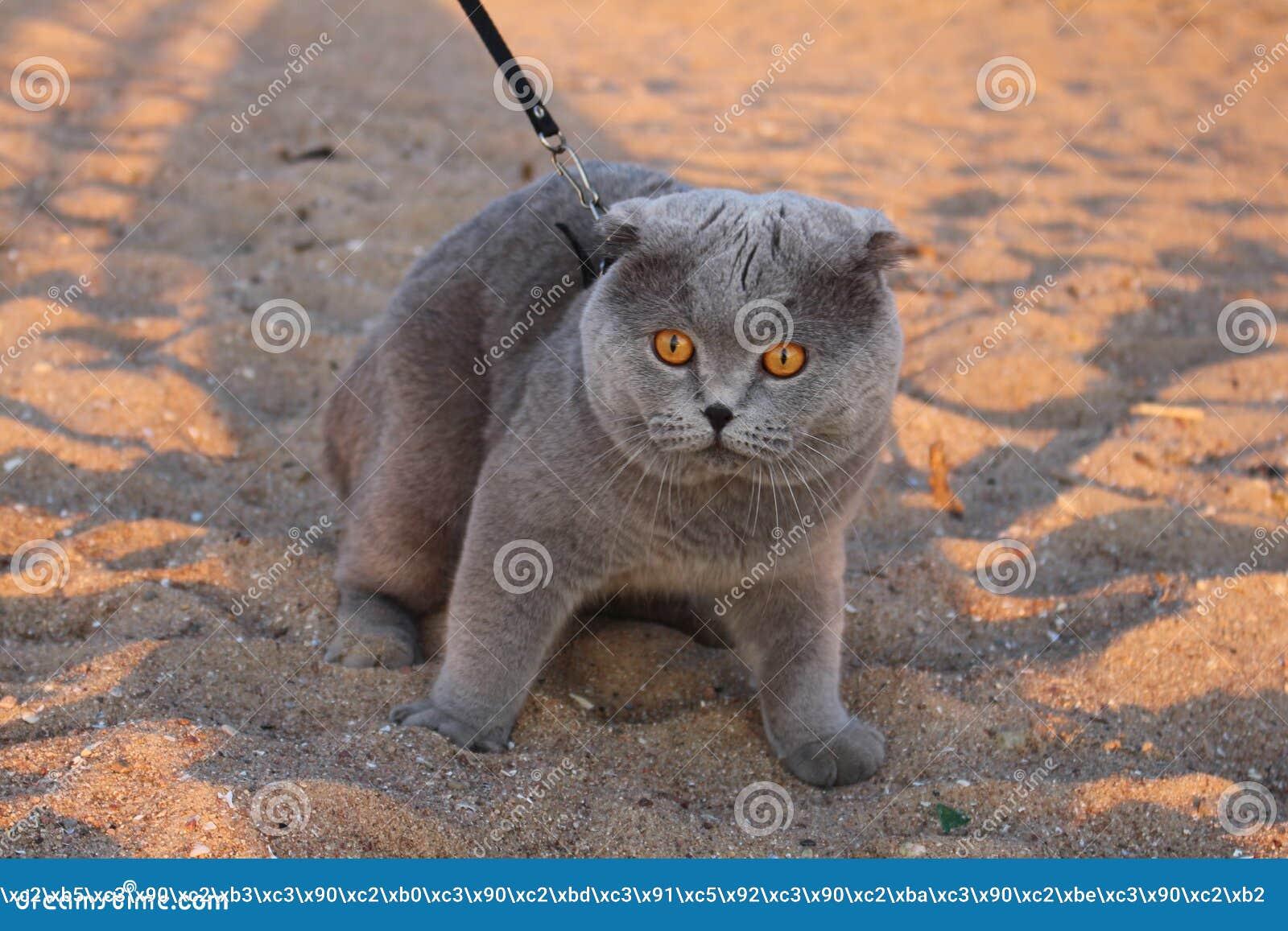 Um gato fumarento enorme com olhos amarelos e um colar