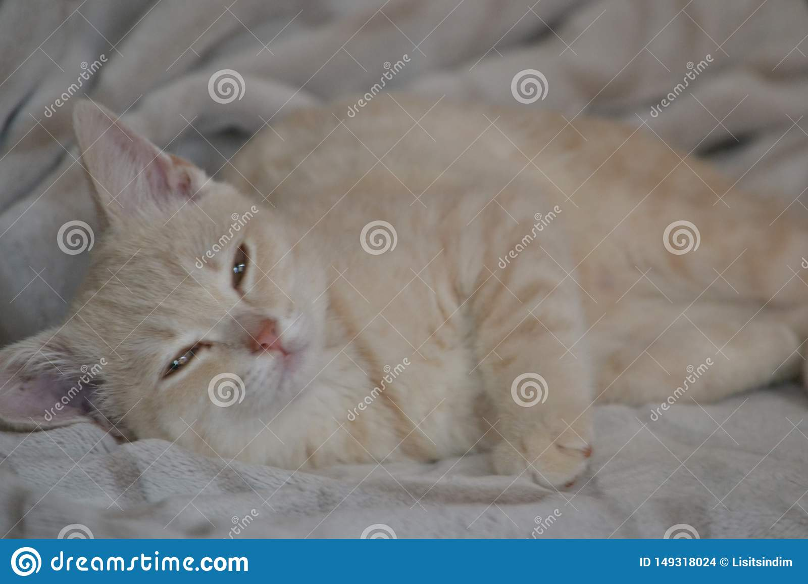 Um gato novo da cor do p?ssego est? encontrando-se na cama