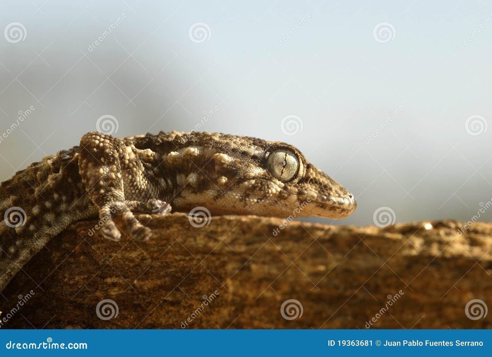 Um gecko