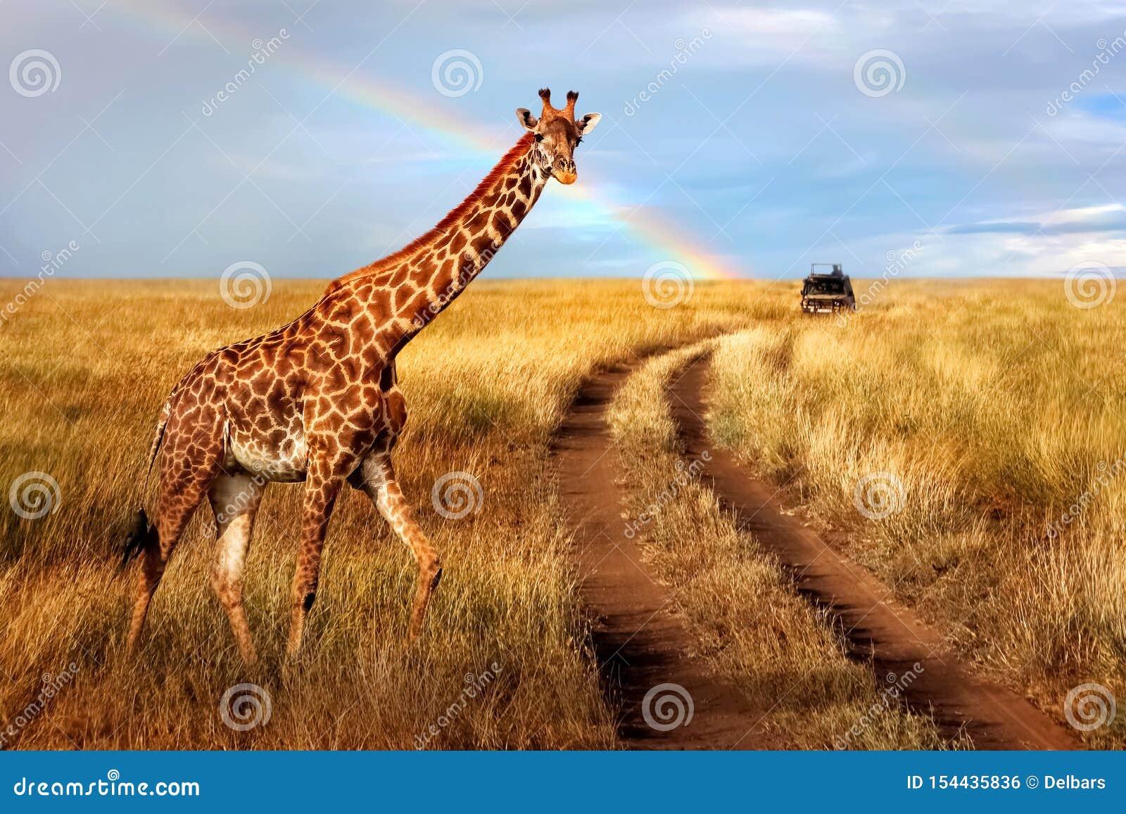 Um girafa bonito só no savana africano quente contra o céu azul com um arco-íris Parque nacional de Serengeti