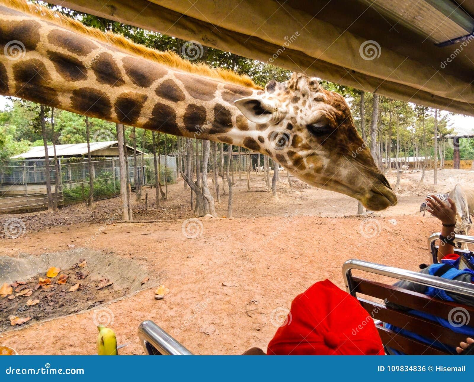 Um girafa que estica seu pescoço
