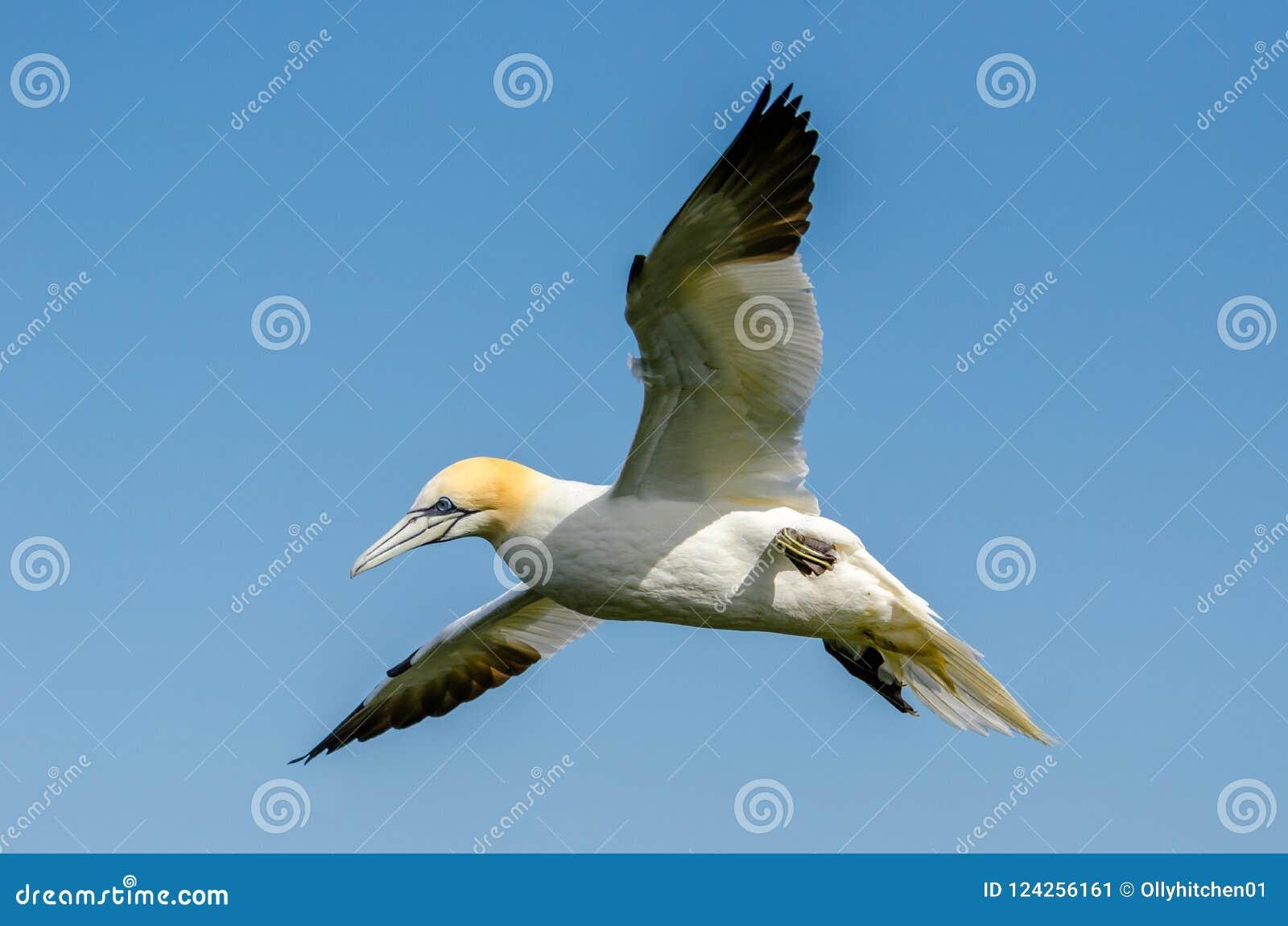 Um grande albatroz em voo