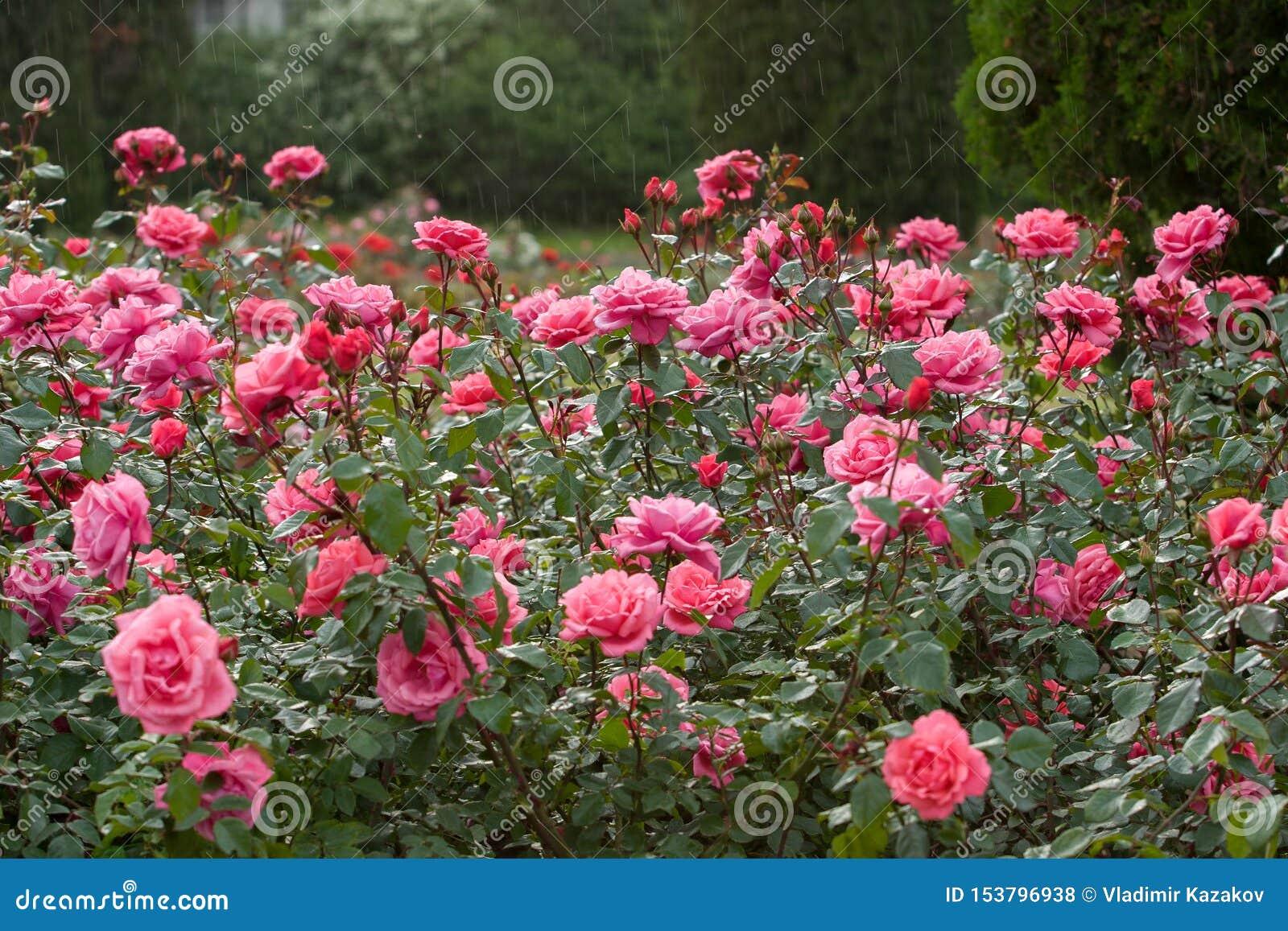 Um grande arbusto de rosas cor-de-rosa na chuva Foco seletivo