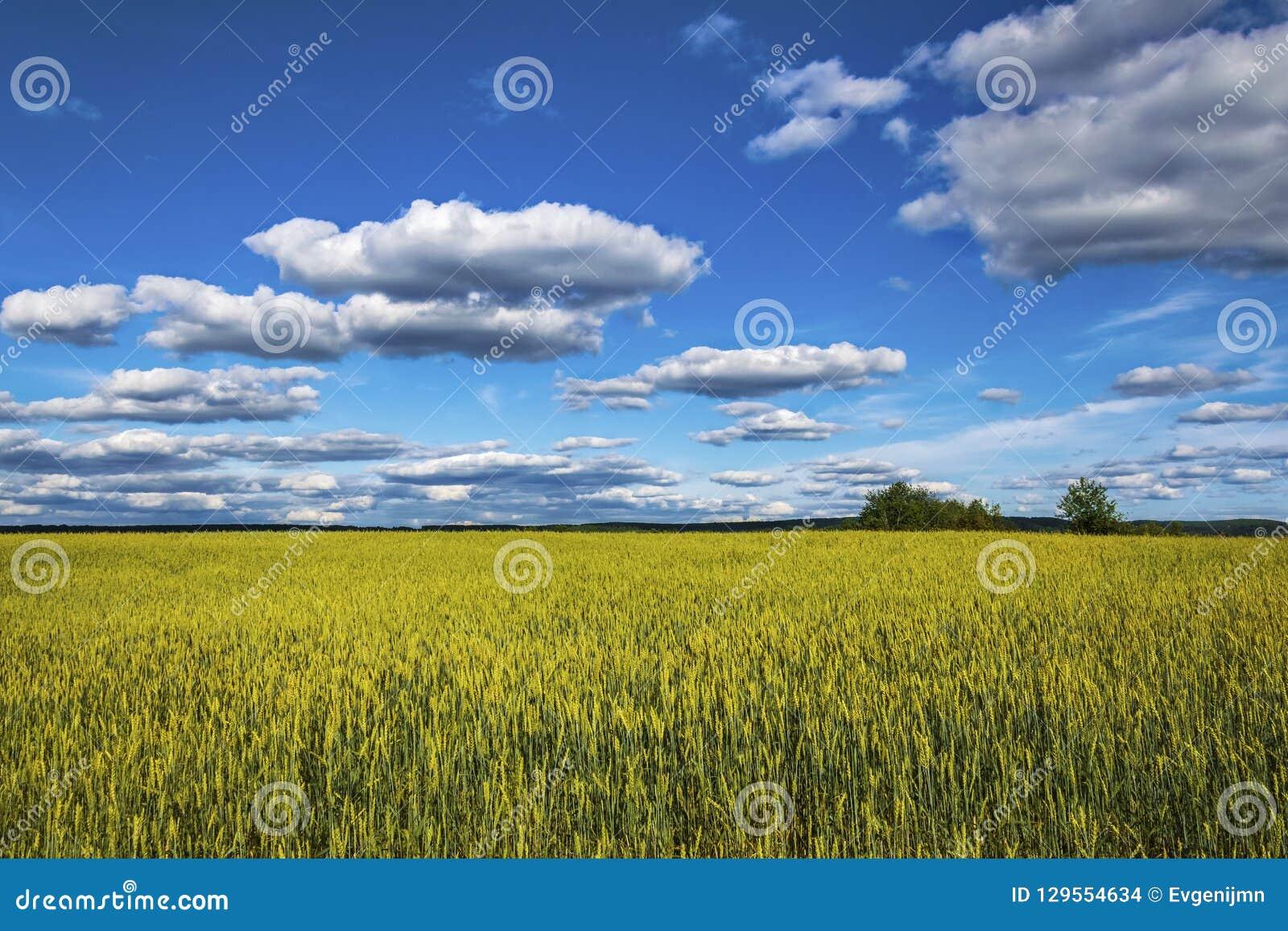 Um grande campo de trigo sob um céu azul com nuvens