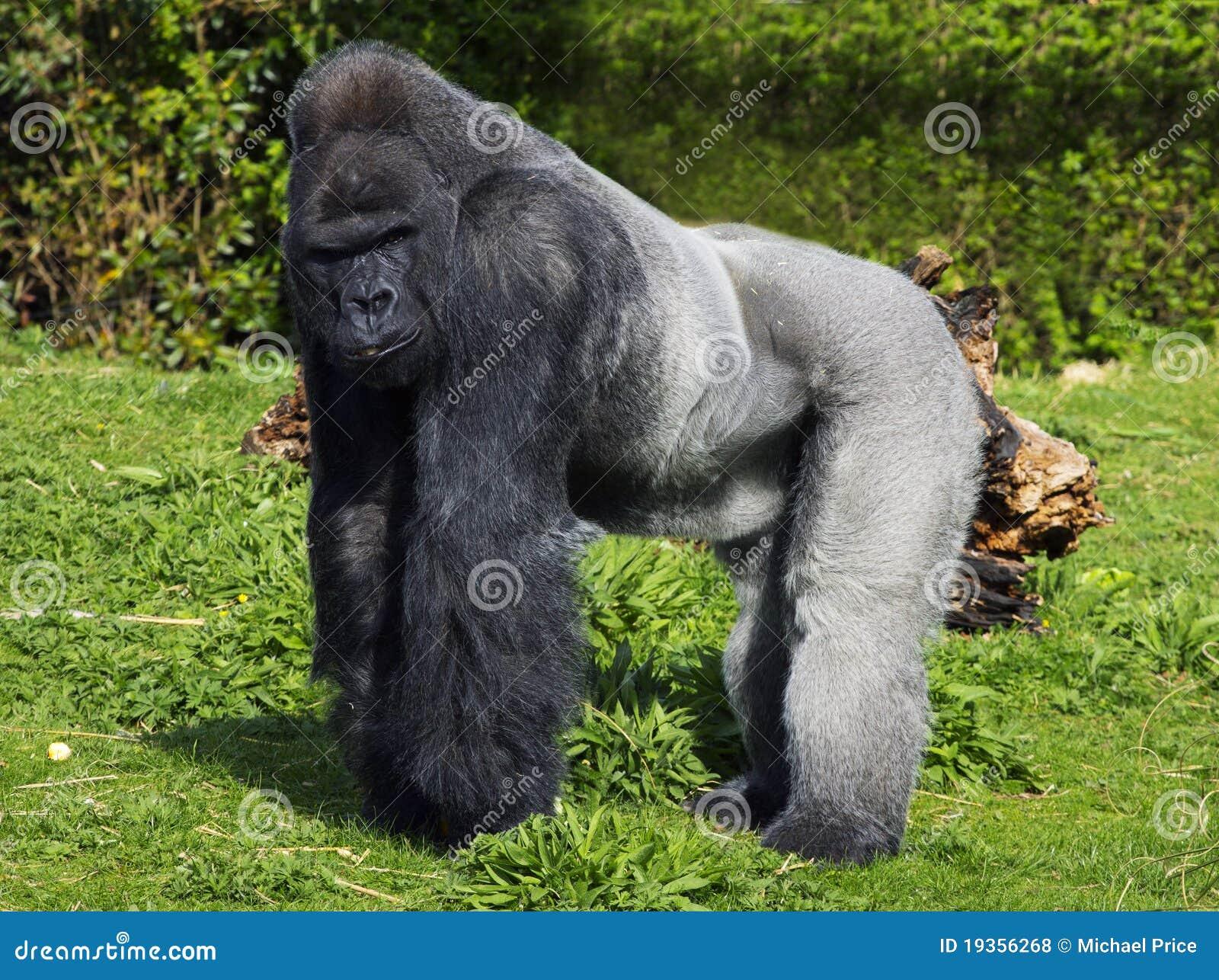 Um grande gorila de planície ocidental masculino da parte traseira da prata