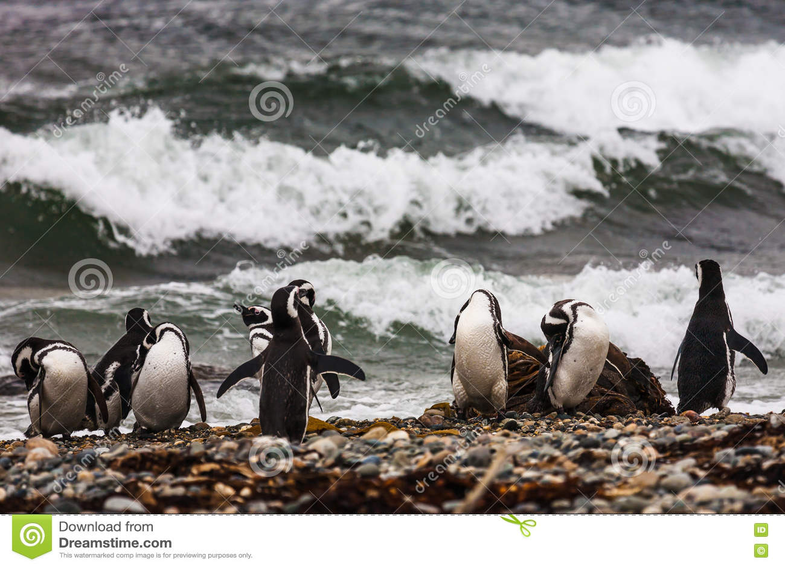Um grande grupo de pinguins de Magellanic em um Pebble Beach
