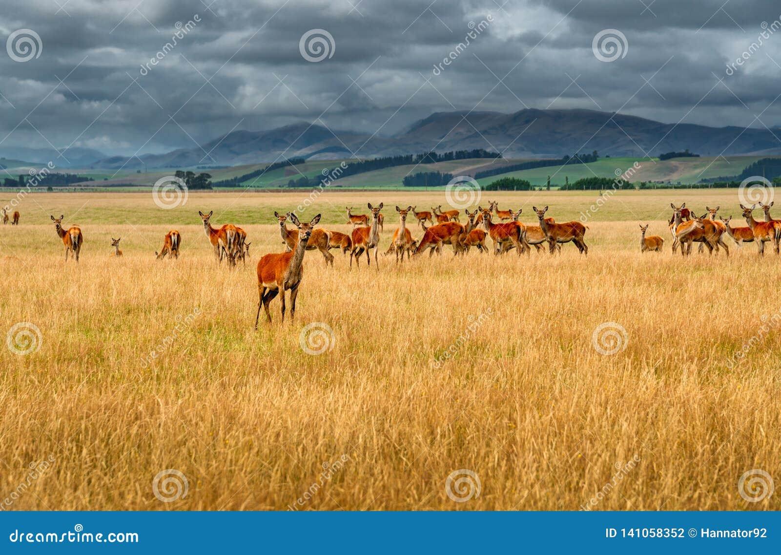 Um grande grupo de rena selvagem, de montanhas e de céu nebuloso no fundo