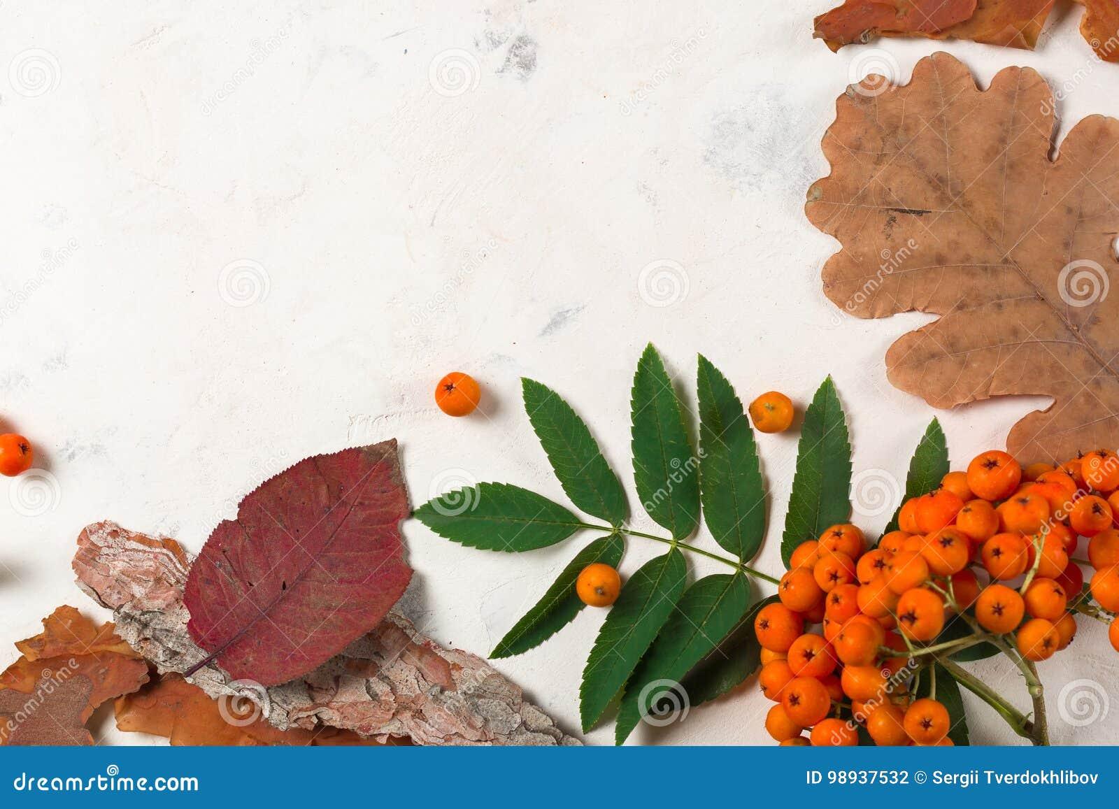 Um grupo da cinza de montanha alaranjada madura com folhas verdes Folhas secas do outono Bagas pretas Pedra ou emplastro branco