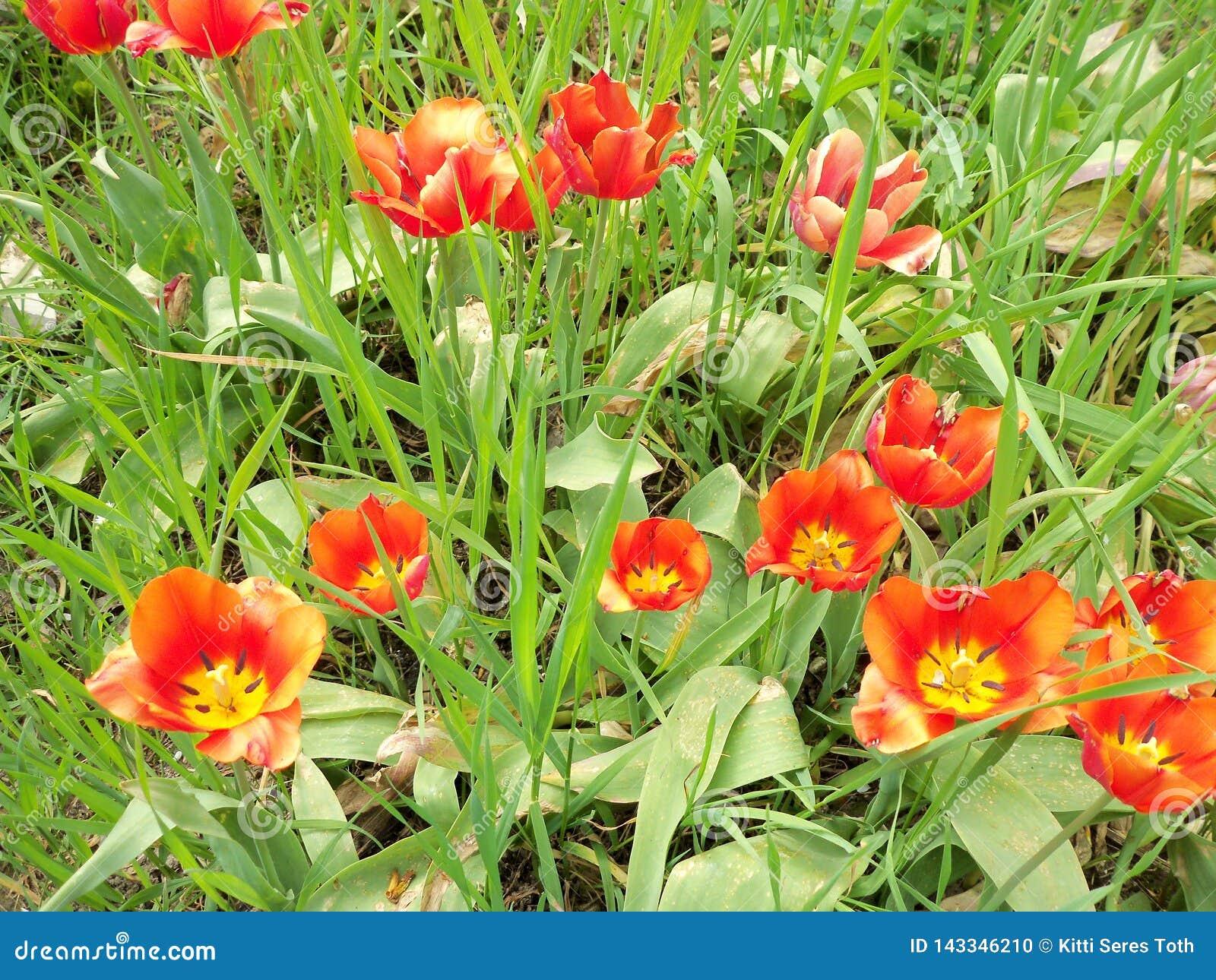 Um grupo das tulipas