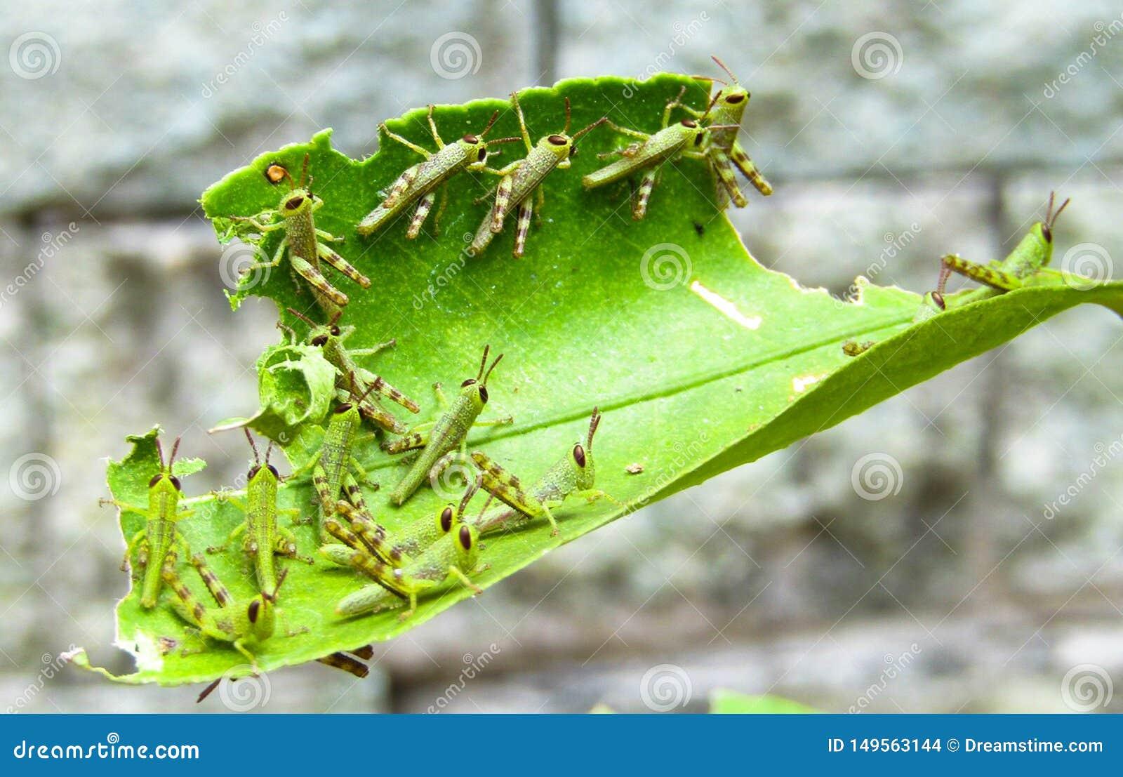 Um grupo de bebês dos locustídeo