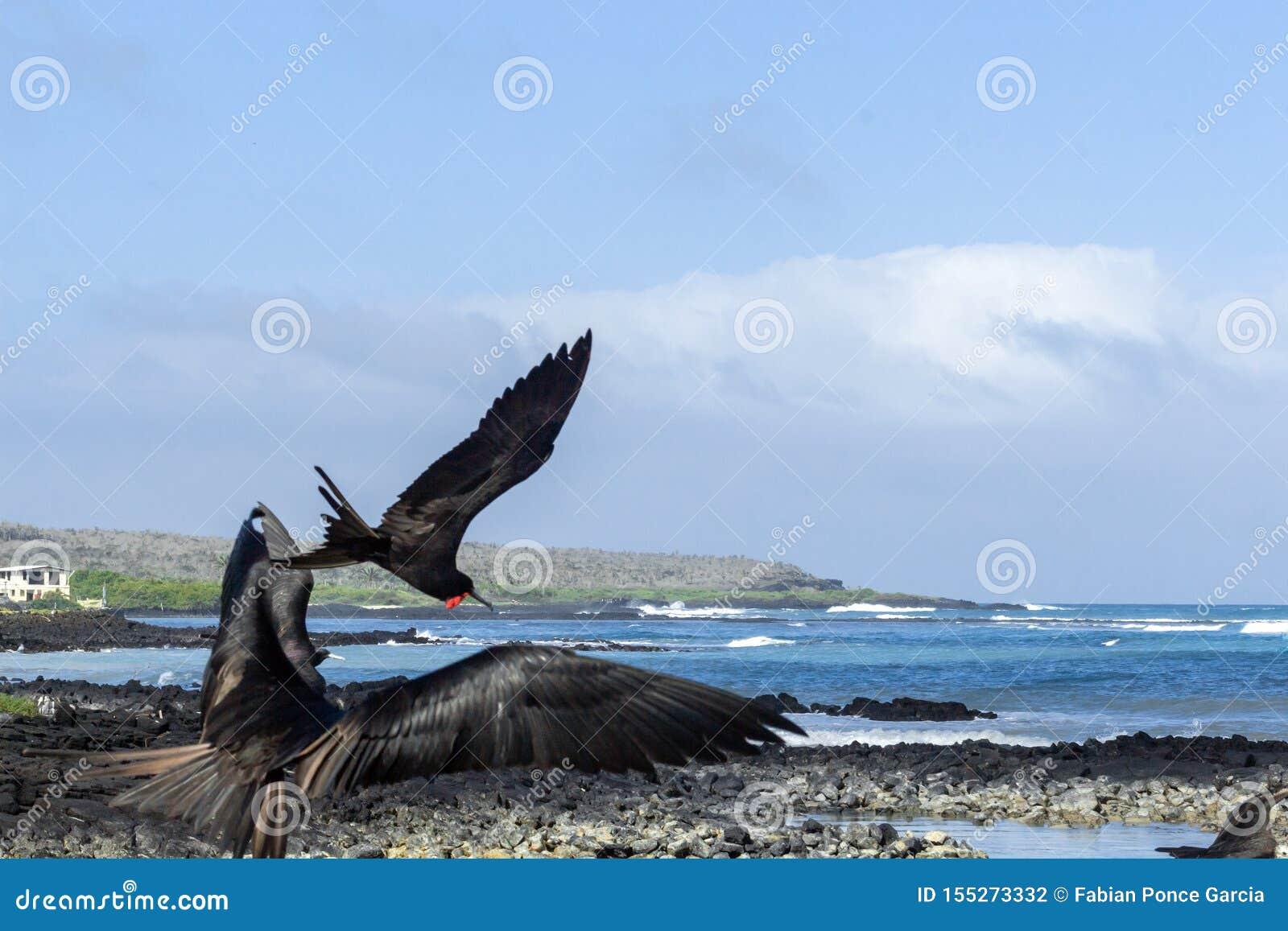 Um grupo de fragatas aterra na costa de Santa Cruz Island em Galápagos