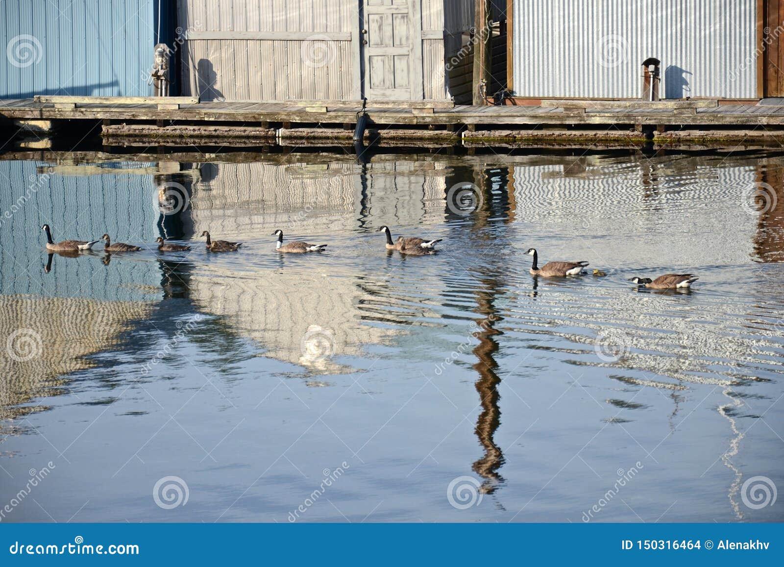 Um grupo de gansos com ganso nada na água