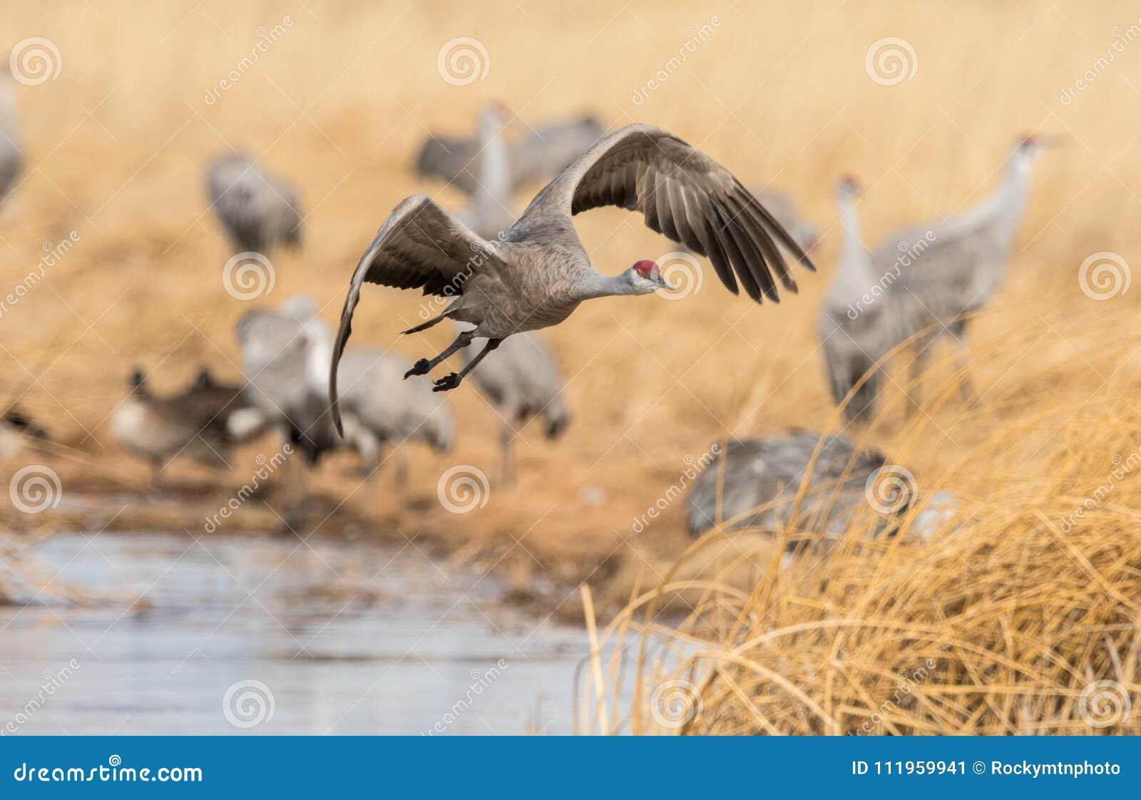 Um guindaste bonito do sandhill que voa sobre um prado pantanoso