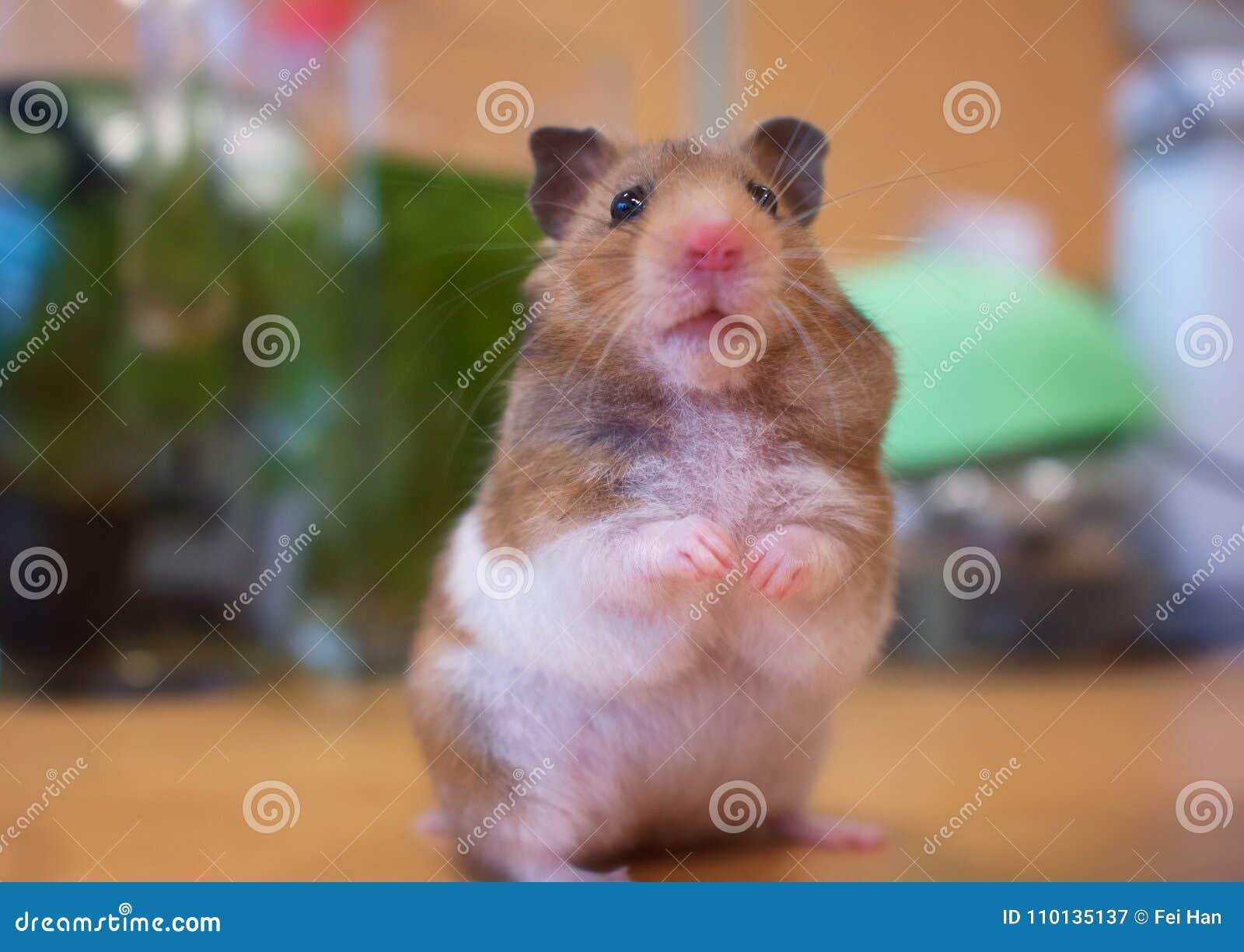 Um hamster que olha fixamente em mim