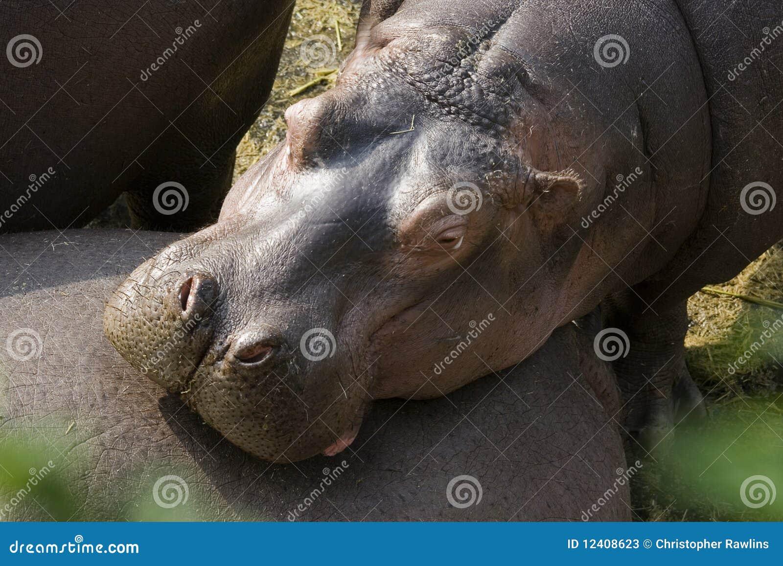 Um hipopótamo que descansa em seu amigo