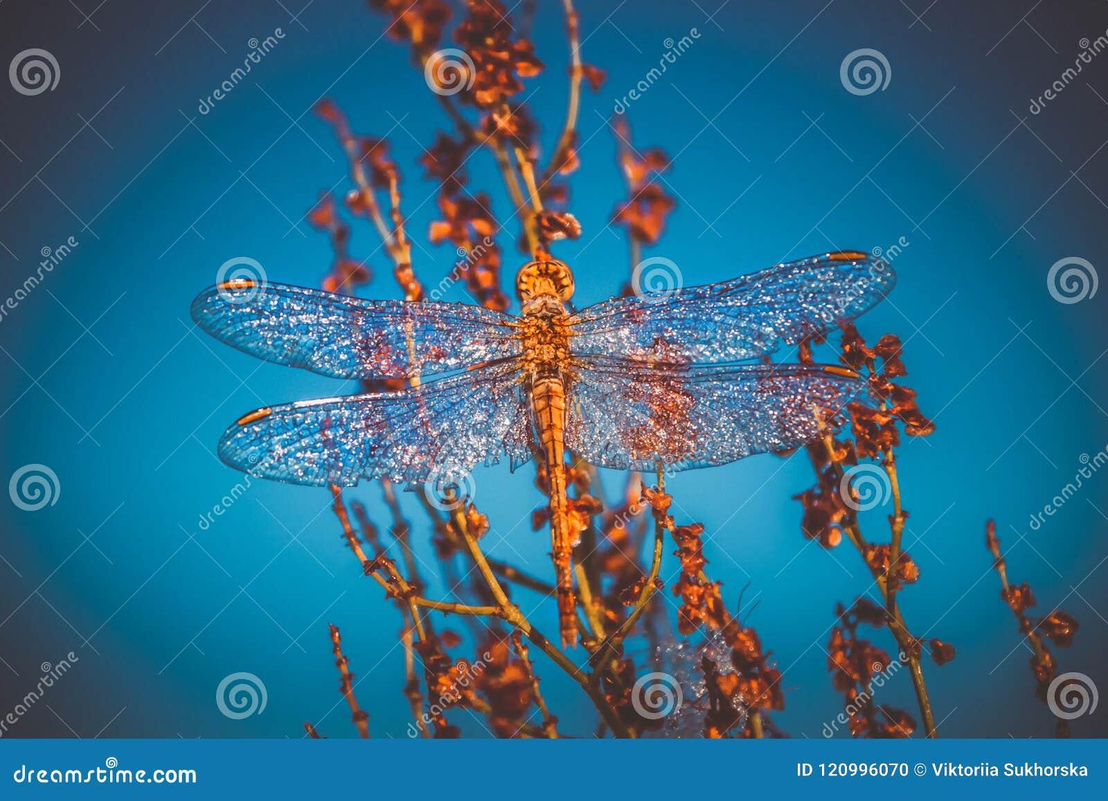 Um inseto bonito de uma libélula Sympetrum Vulgatum contra um fundo de um fundo do céu azul toning