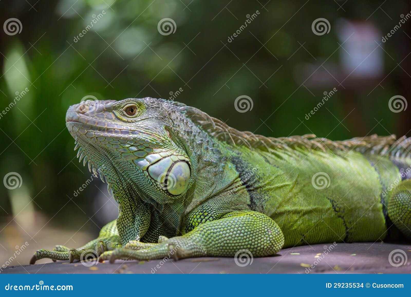 Download Um lagarto verde foto de stock. Imagem de quente, minúsculo - 29235534