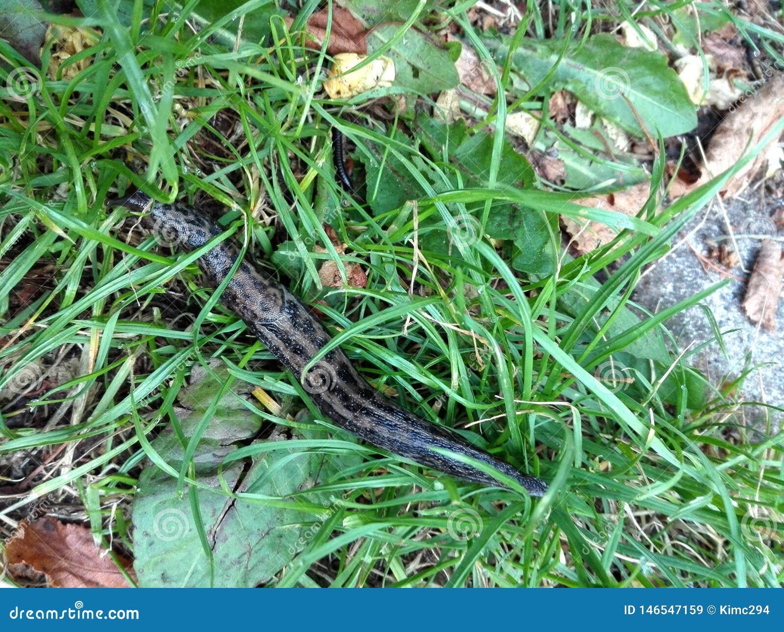 Um leopardo que a lesma igualmente chamou uma grande lesma cinzenta rasteja na grama verde