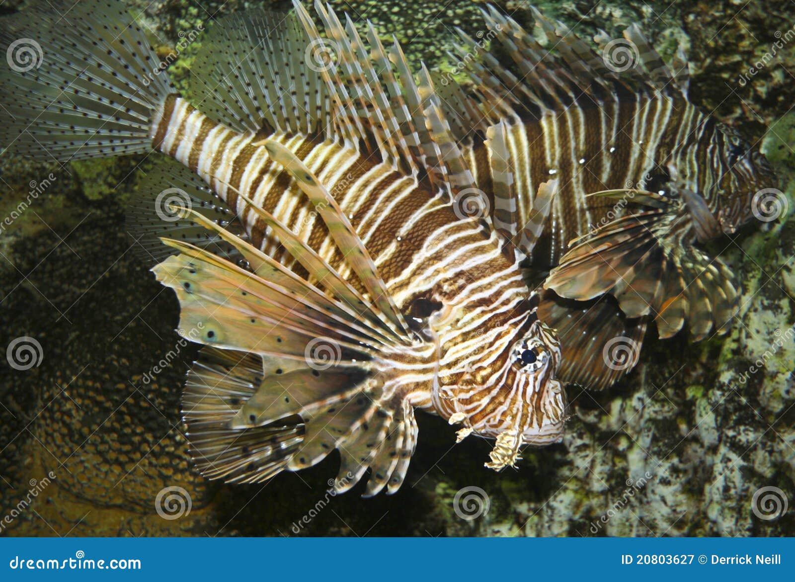 Um Lionfish Venomous, Pterois, com suas aletas Spiky