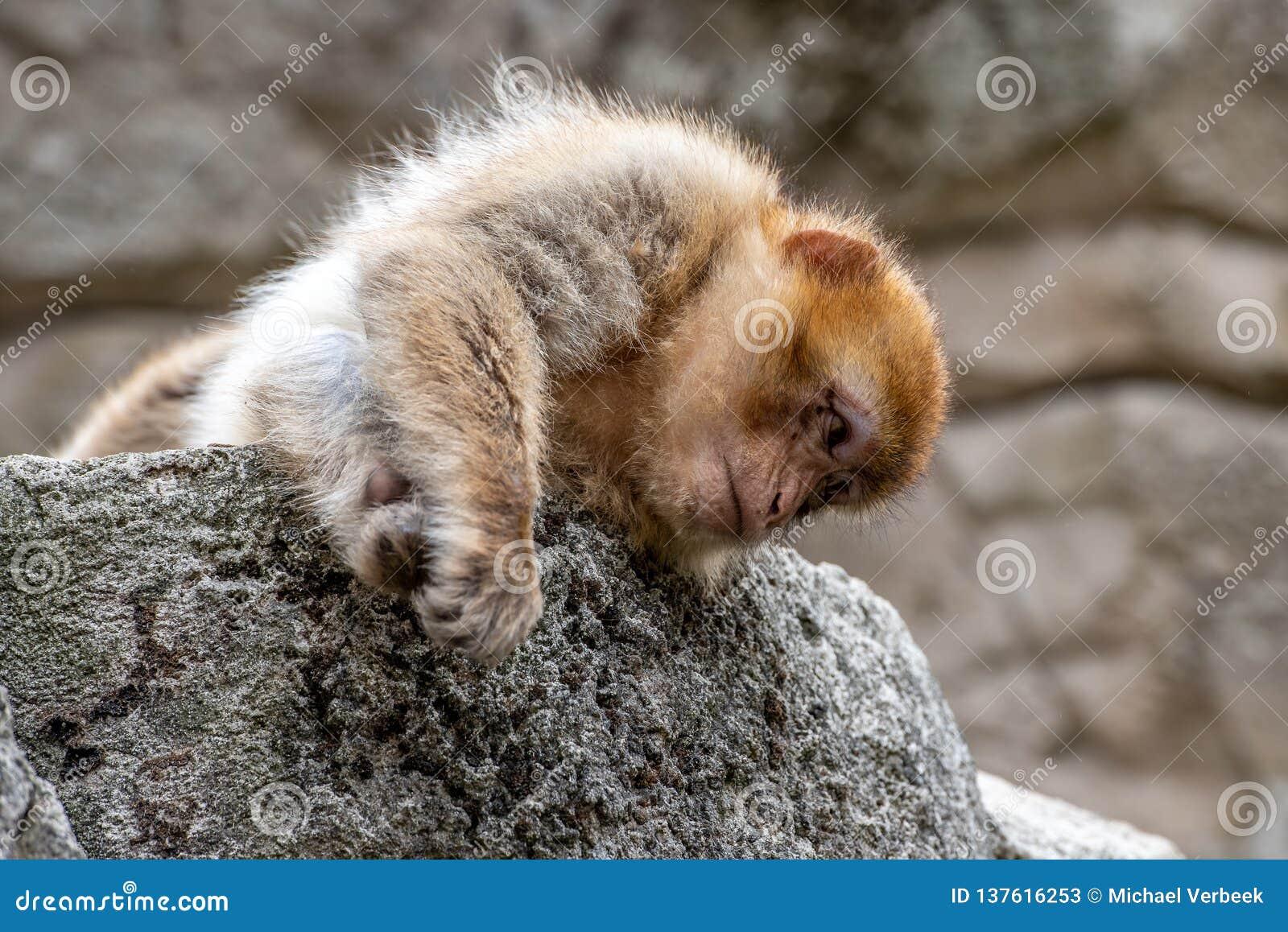 Um macaco novo do berber está encontrando-se em uma pedra