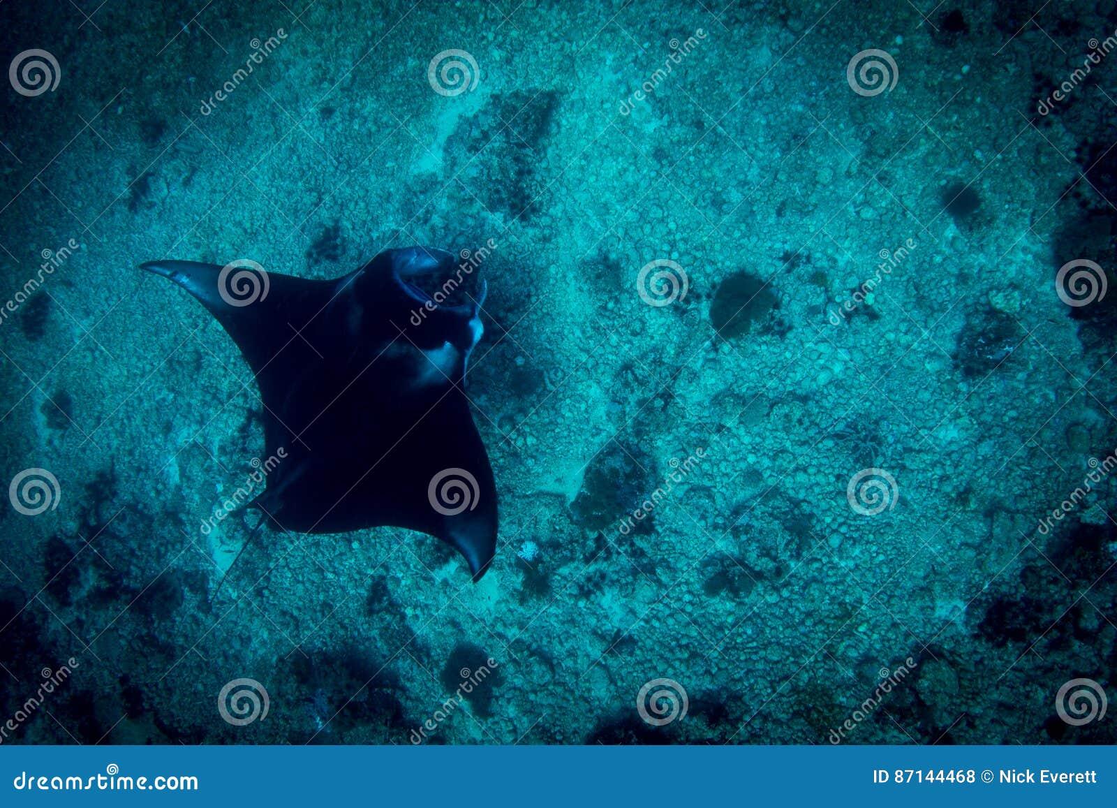 Um Manta Ray no ponto do manta