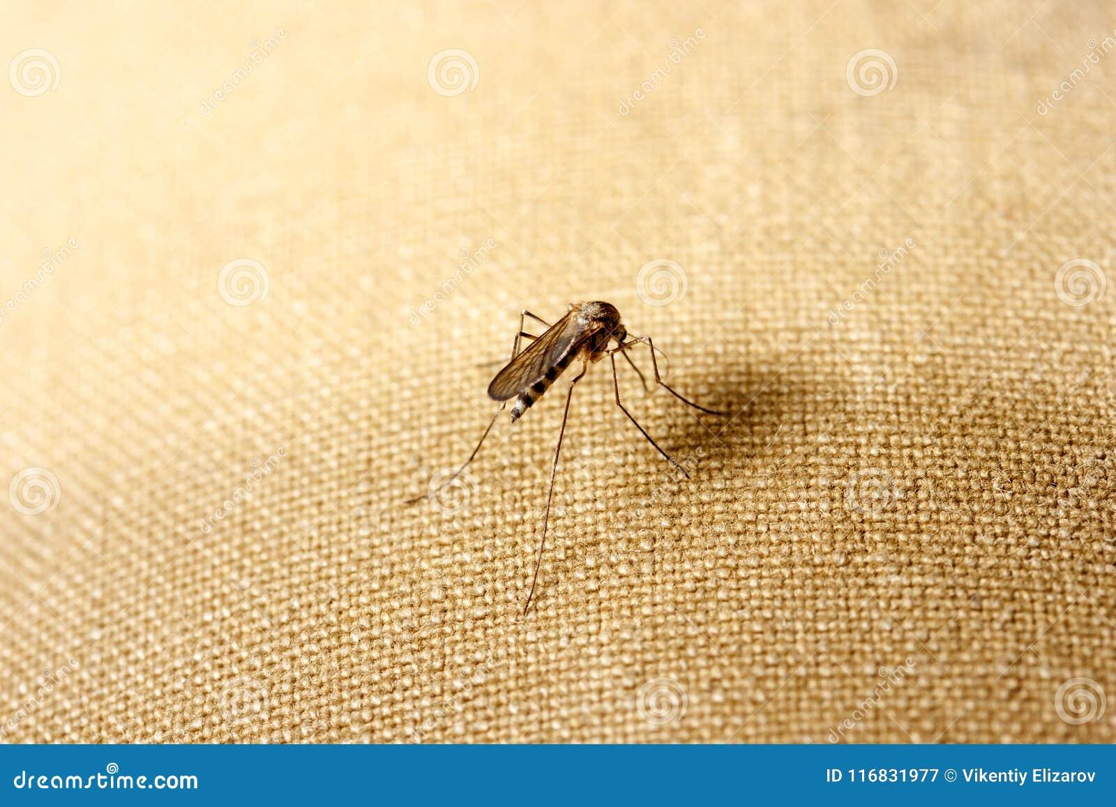 Um mosquito senta-se na roupa O mosquito quer sugar o sangue