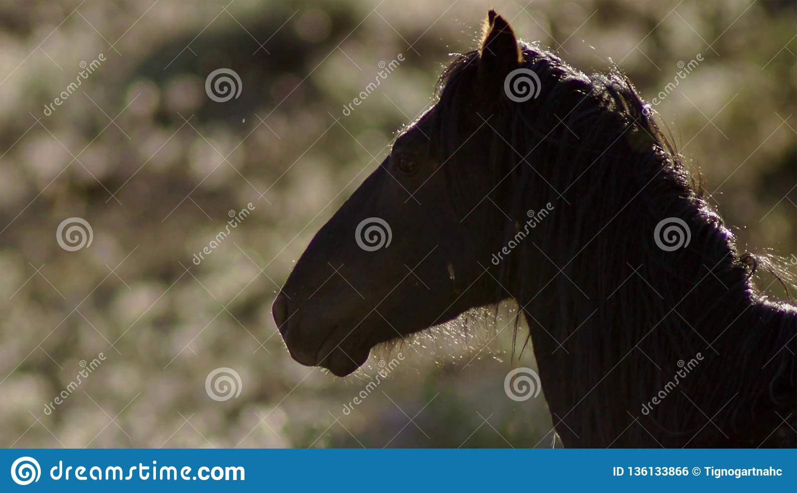 Um mustang selvagem da baía do rebanho do cavalo selvagem de Onaquai Estando estoicamente no deserto de Nevada, Estados Unidos