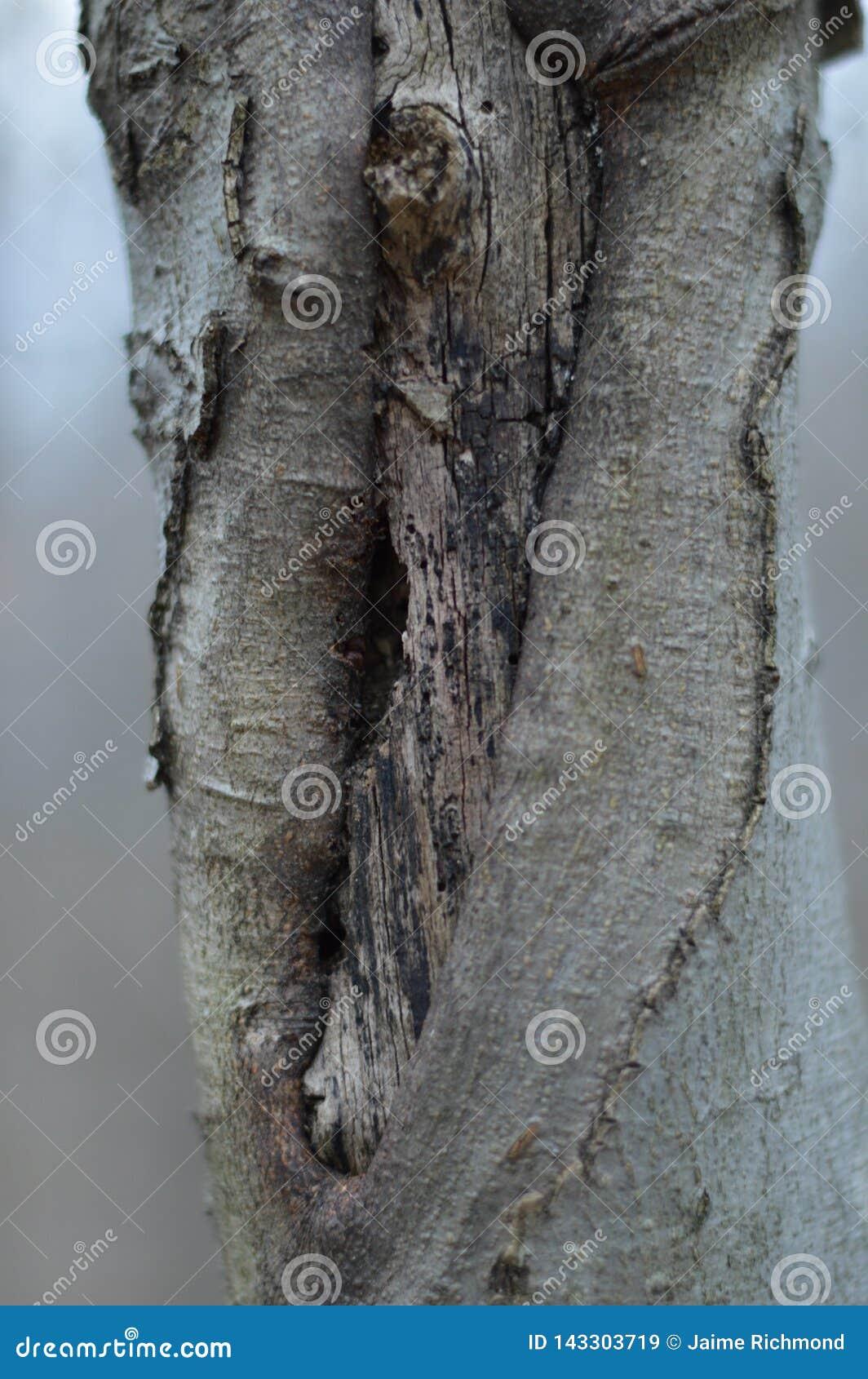 Um nó torcido de uma árvore