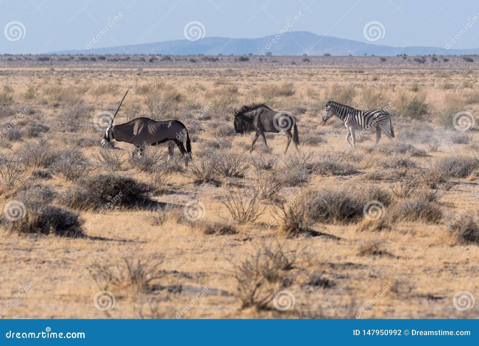 Um oryx conduz um gnu e uma zebra em Etosha N P