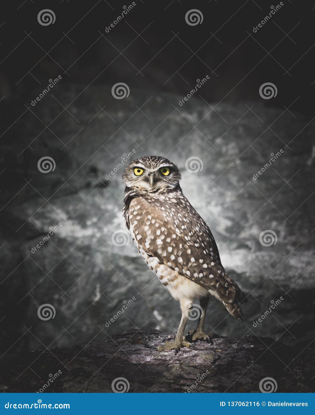 Um Owl Staring Burrowing com contato de olho na escuridão que está na frente das rochas