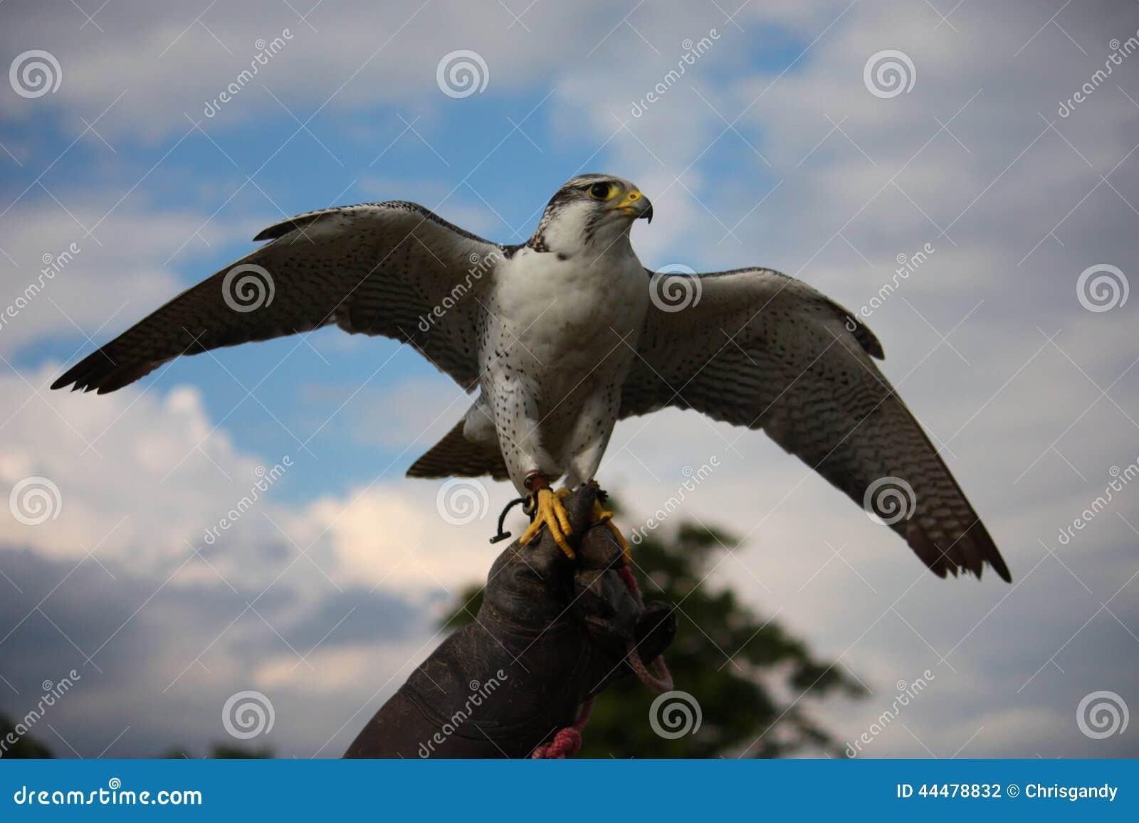 um pássaro ártico branco bonito da ave de rapina do falcão que