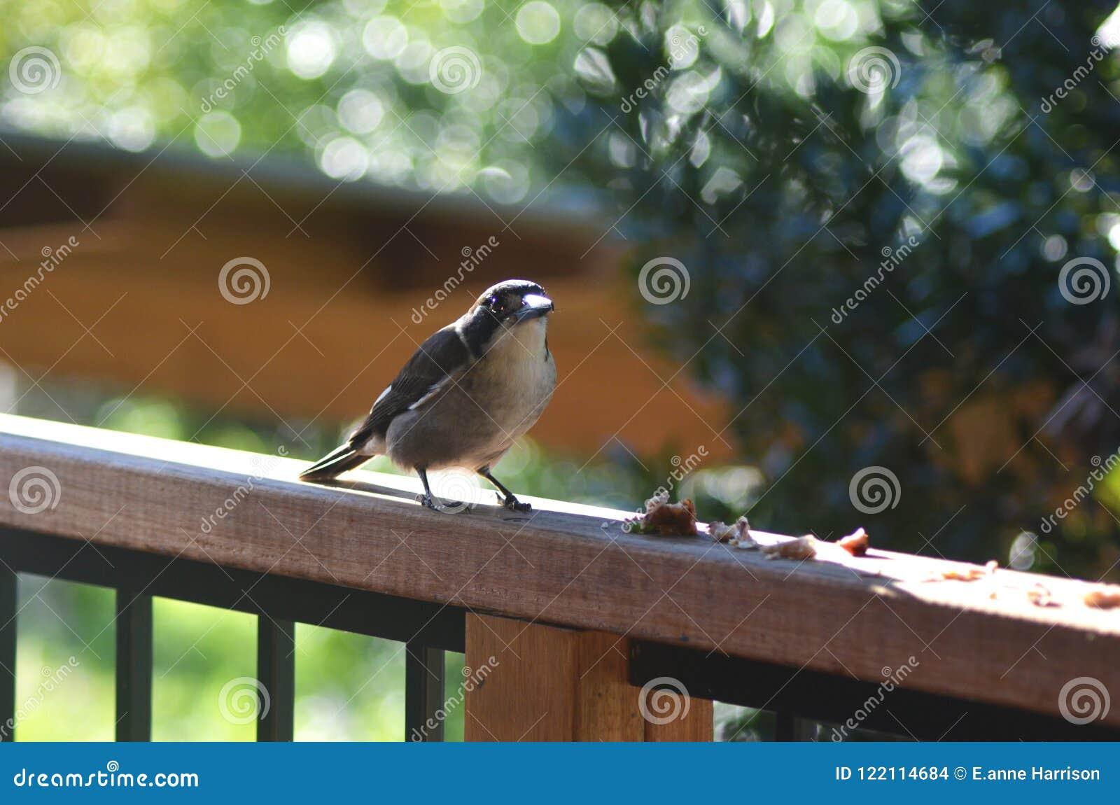 Um pássaro do carniceiro que está em um trilho de madeira, alimentando