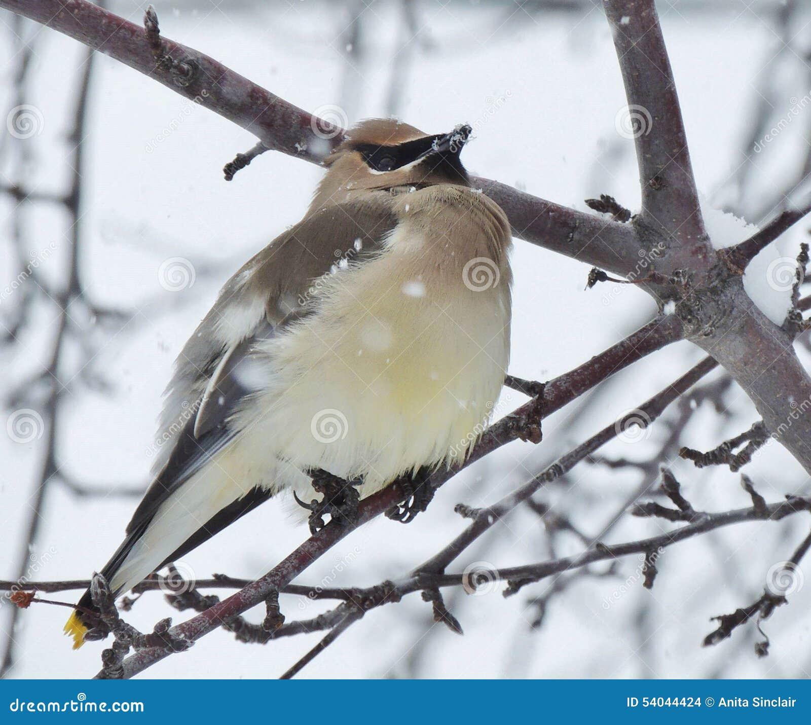 Um pássaro pequeno, um Waxwing boêmio, varas entre os ramos de uma árvore estéril em um dia nevado