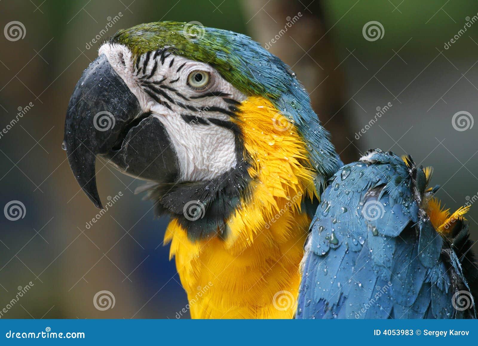 Um papagaio molhado