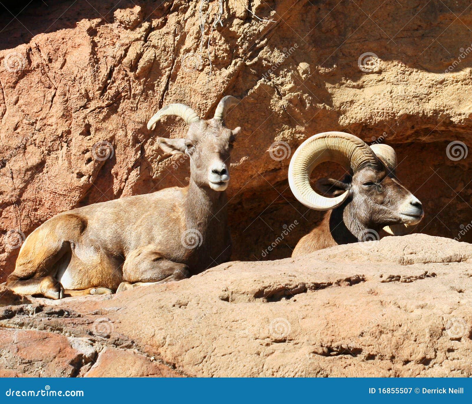 Um par acoplado de carneiros de Bighorn