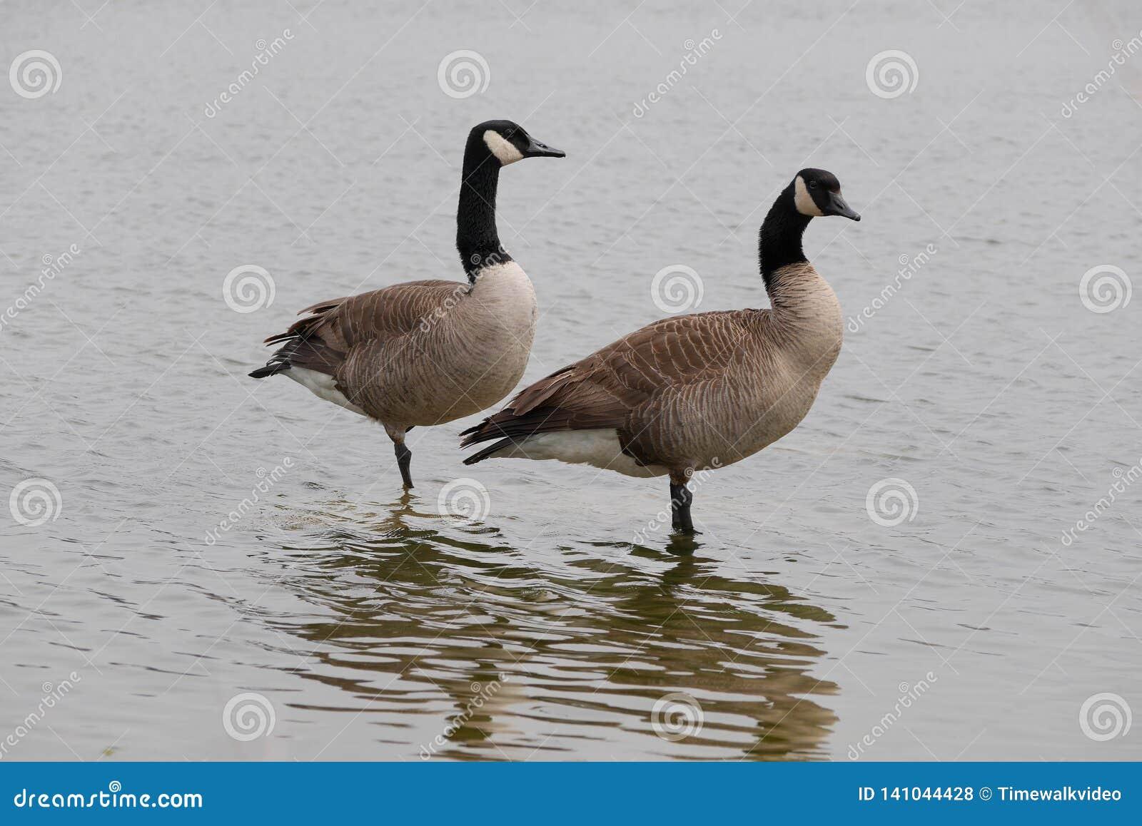 Um par agradável de gansos canadenses na água