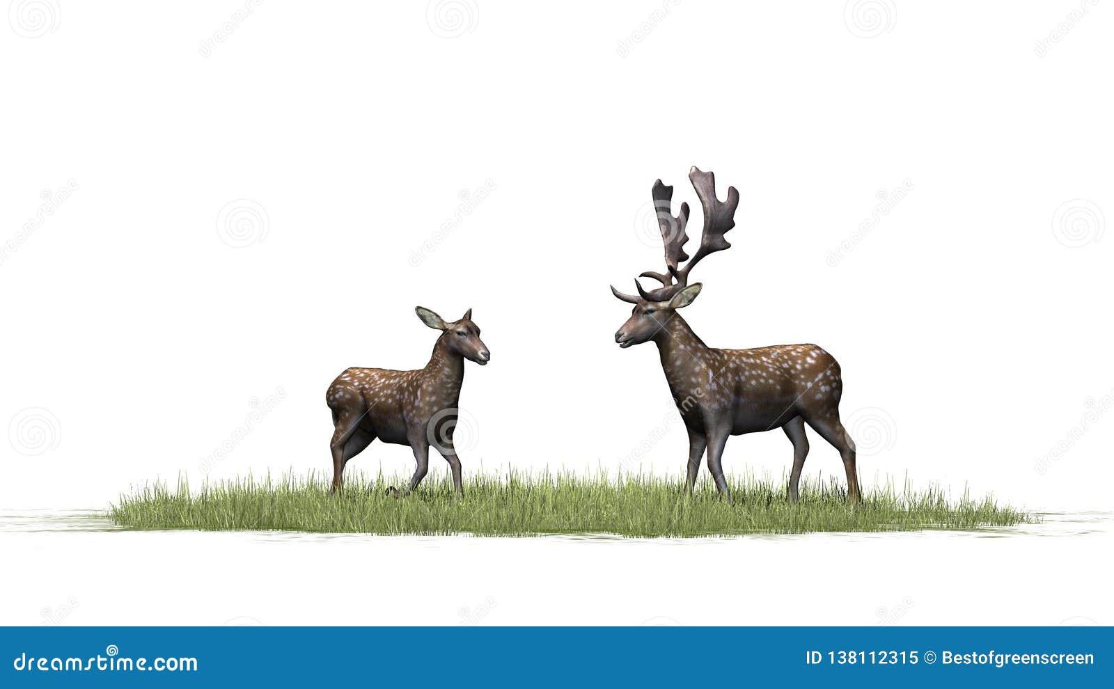 Um par bonito de cervos na grama verde