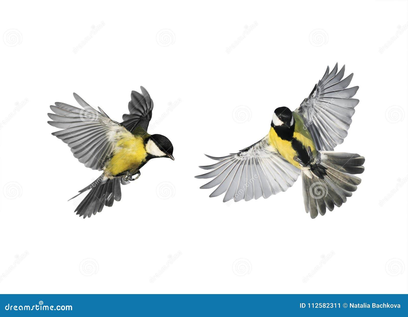 Um par chickadees pequenos dos pássaros que voam para a propagação sua vitória