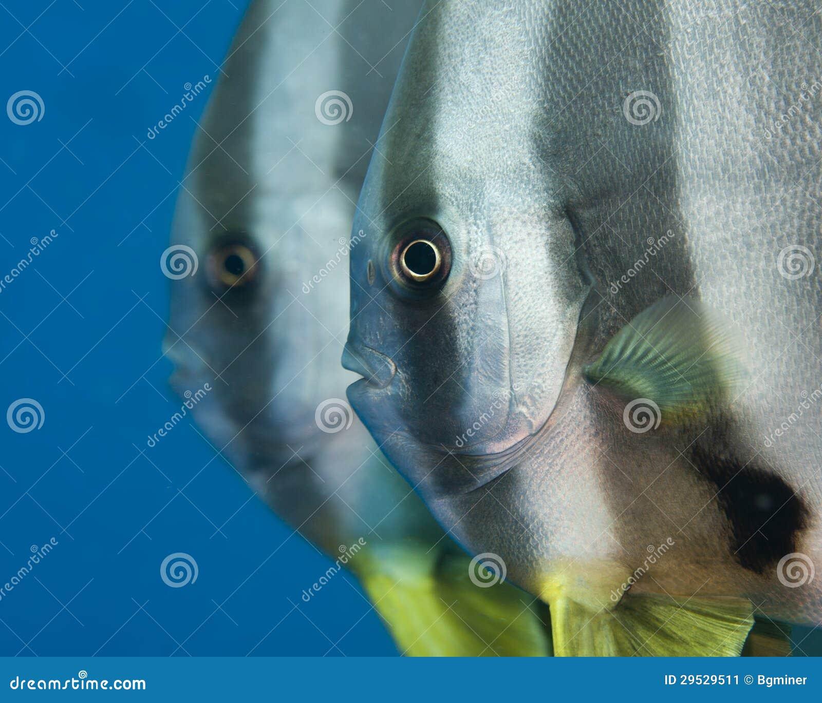 Um par de batfish do tallfin
