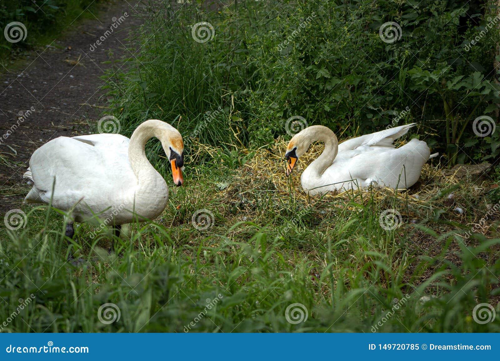Um par de cisnes do aninhamento