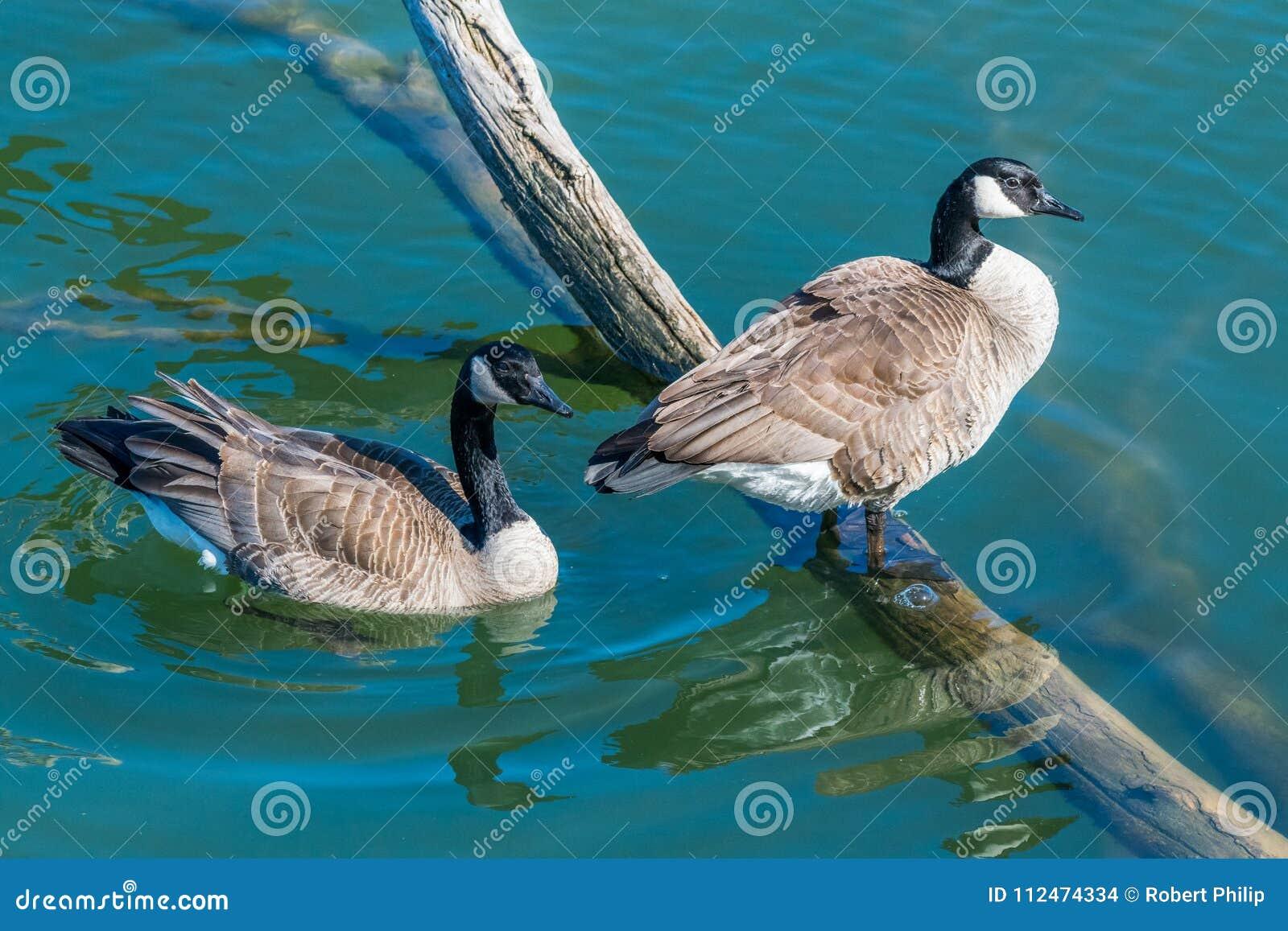 Um par de gansos canadenses