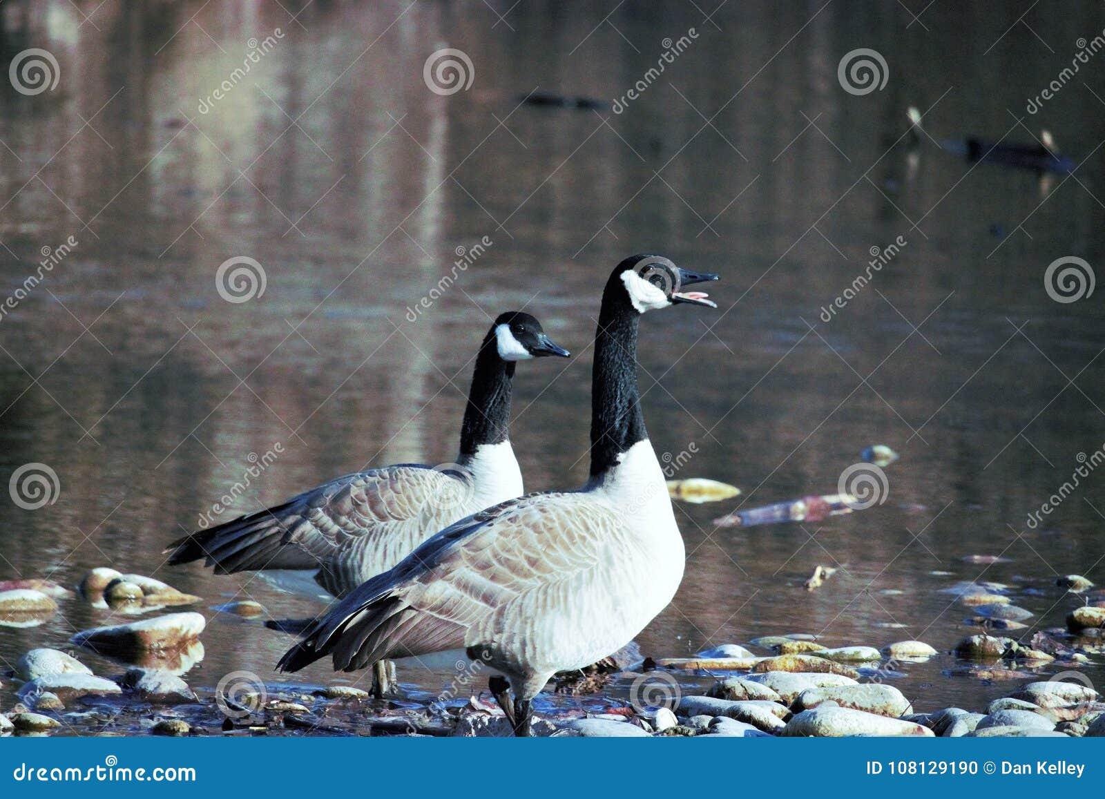 Um par de gansos que falam o acima no banco de Boise River