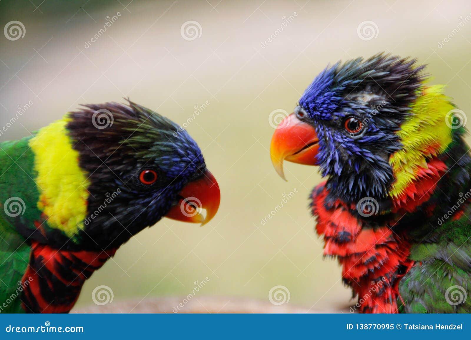 Um par de papagaios multi-coloridos bonitos olha se